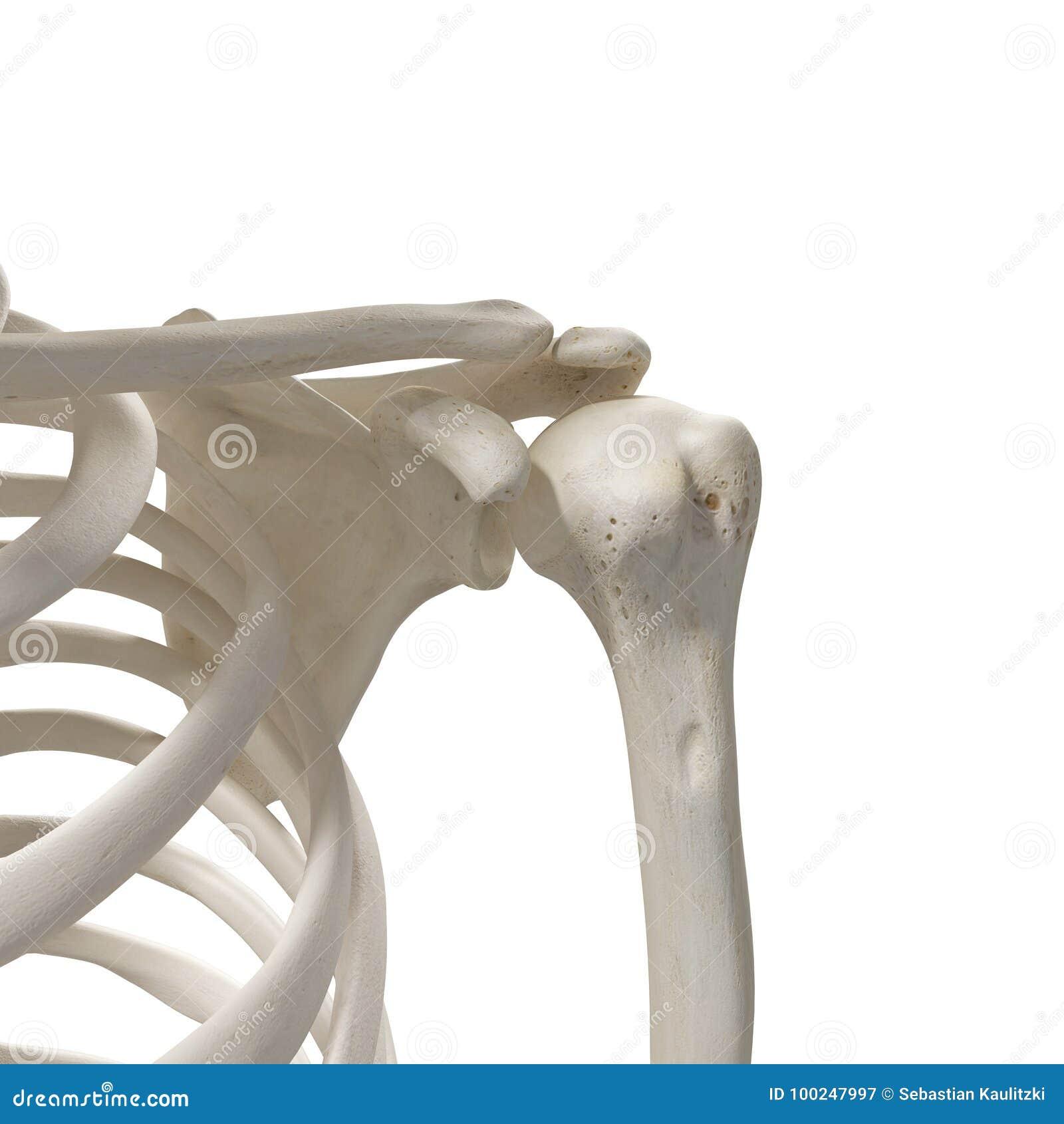The Shoulder Bones Stock Illustration Illustration Of Bones 100247997
