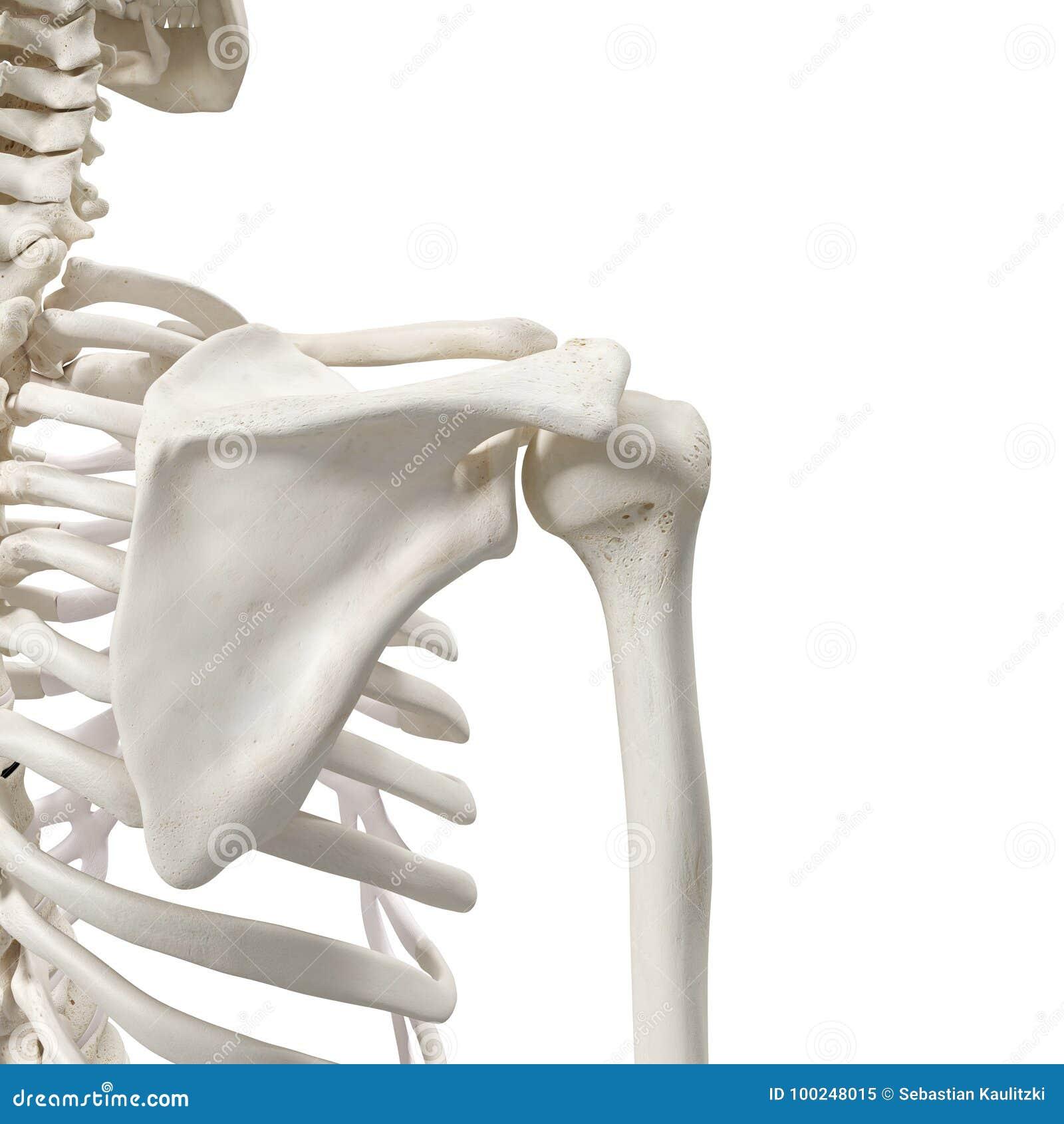 The Shoulder Bones Stock Illustration Illustration Of Scapula