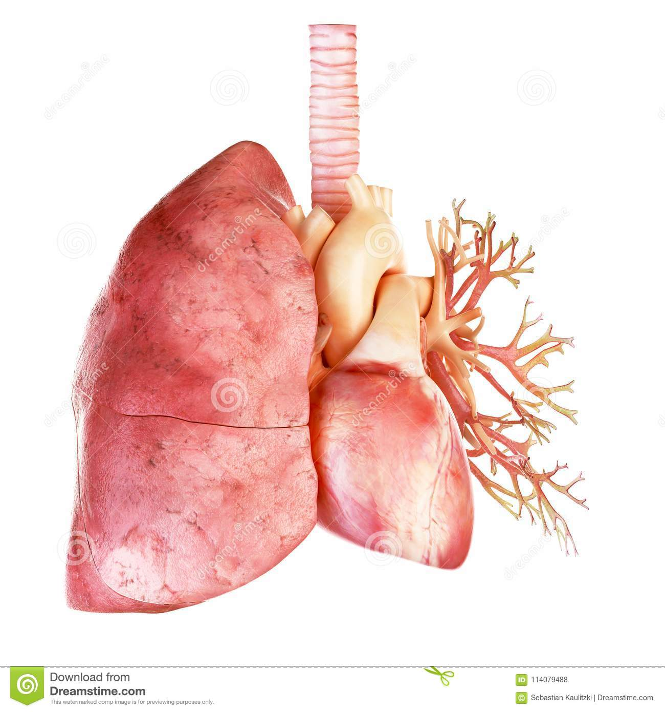 The Human Heart And Lung Stock Illustration Illustration Of