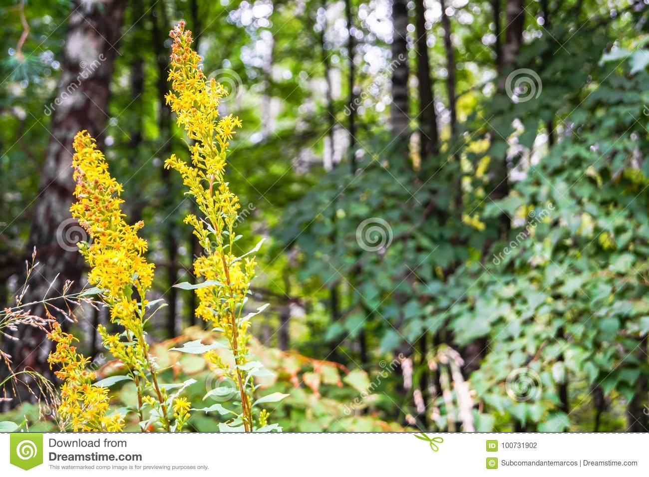 Medicinal Herb Goldenrod In Bloom In Summer Forest  Stock Photo