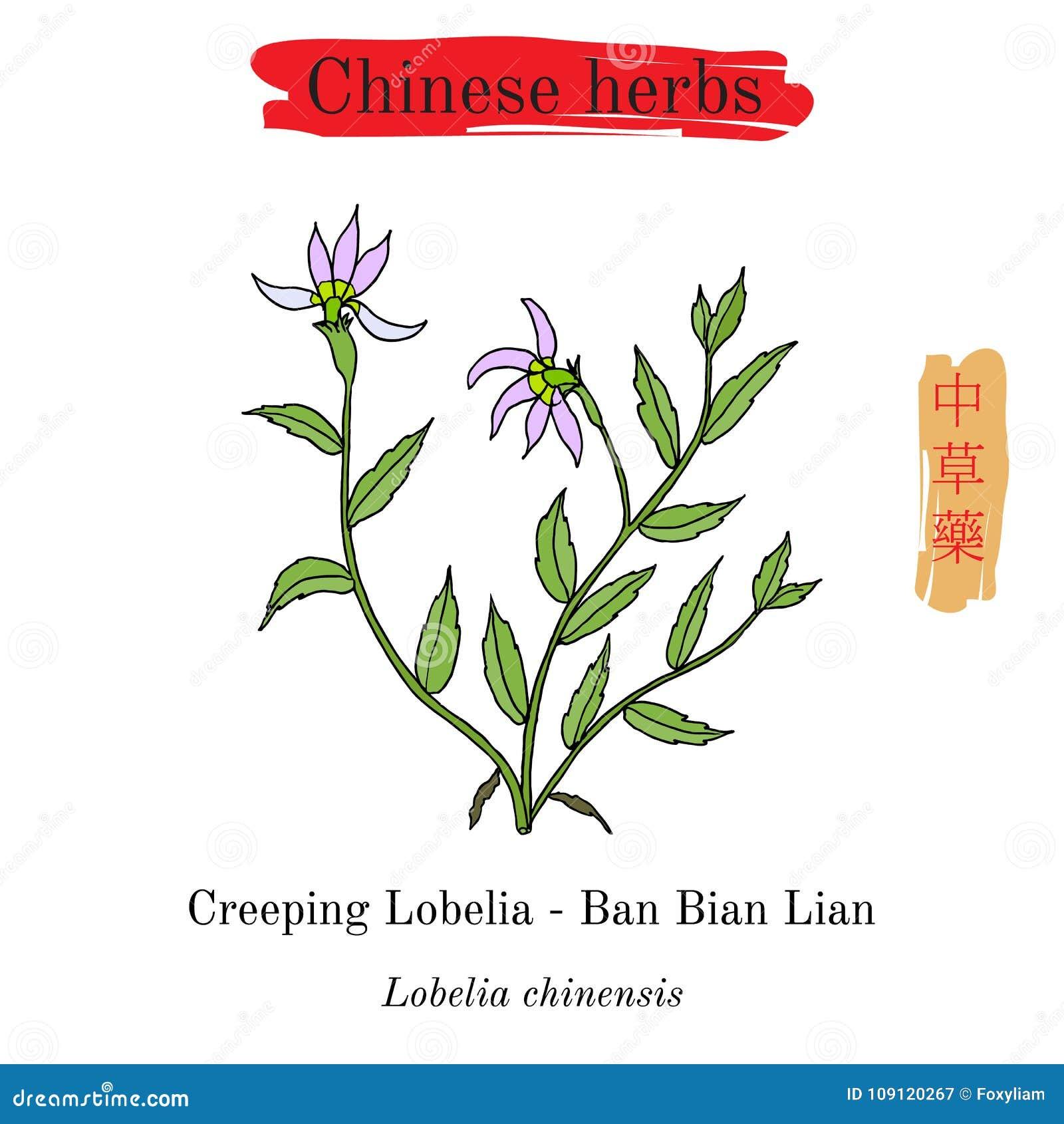 Medicinal Herbs Of China Lobelia Chinensis Stock Vector
