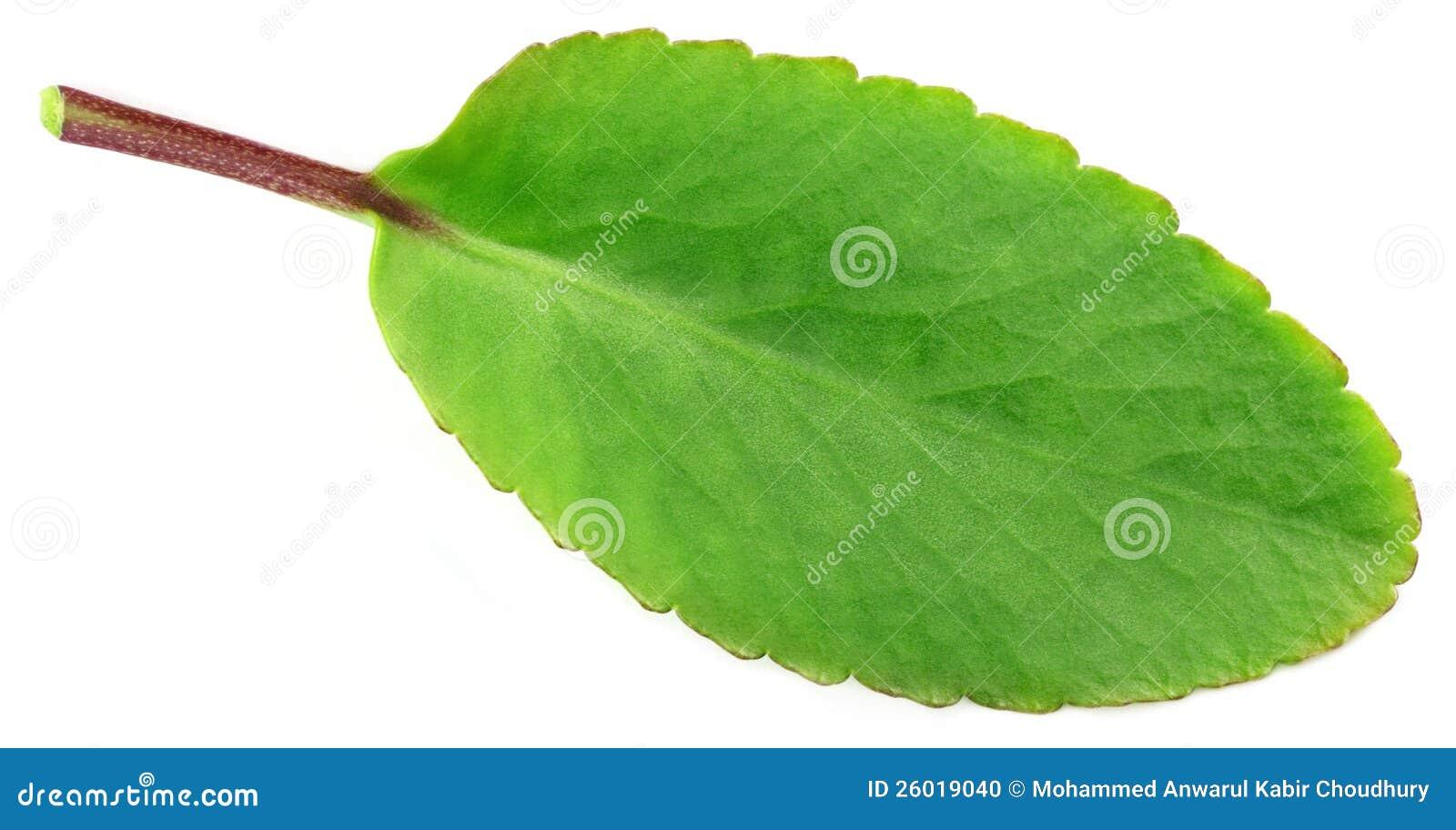 Medicinal Kalanchoe Or Patharkuchi Leaf Stock Photo - Image: 26019040 Kalanchoe Pinnata
