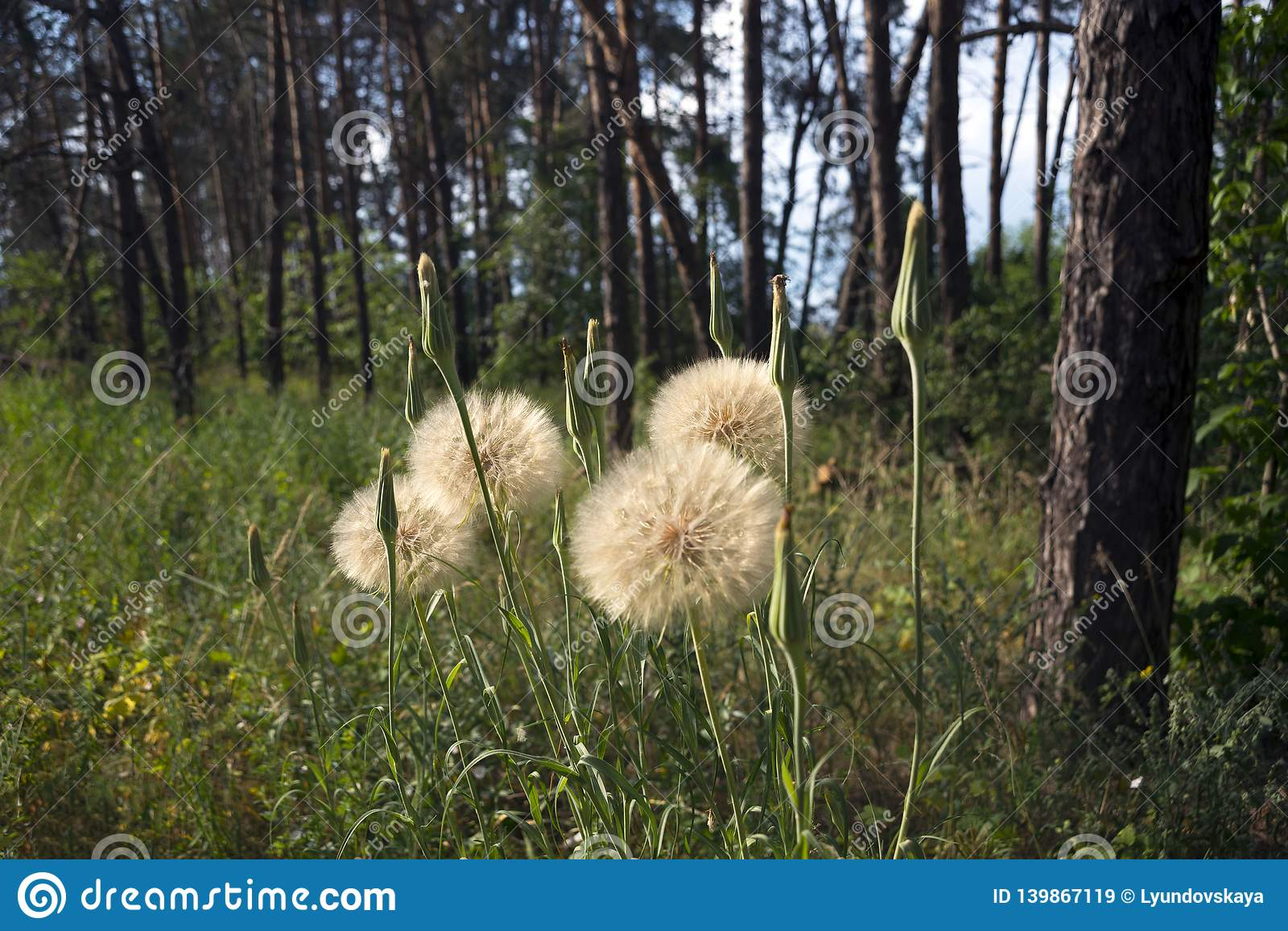 Medicinal plant - dandelion, among the trees in the coniferous forest.