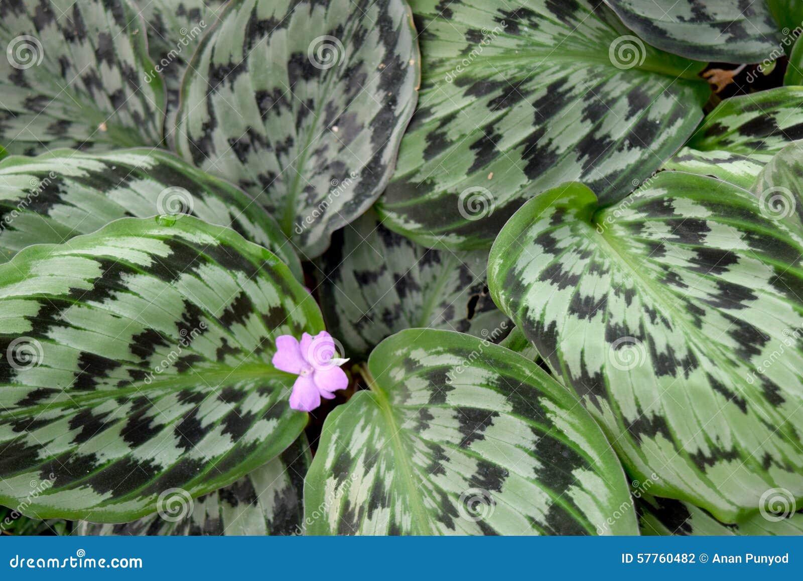 Medicinalväxt - MARANTHACEAE, Calathea picturata (lind) K Kosh & lindCV Vandenheckei