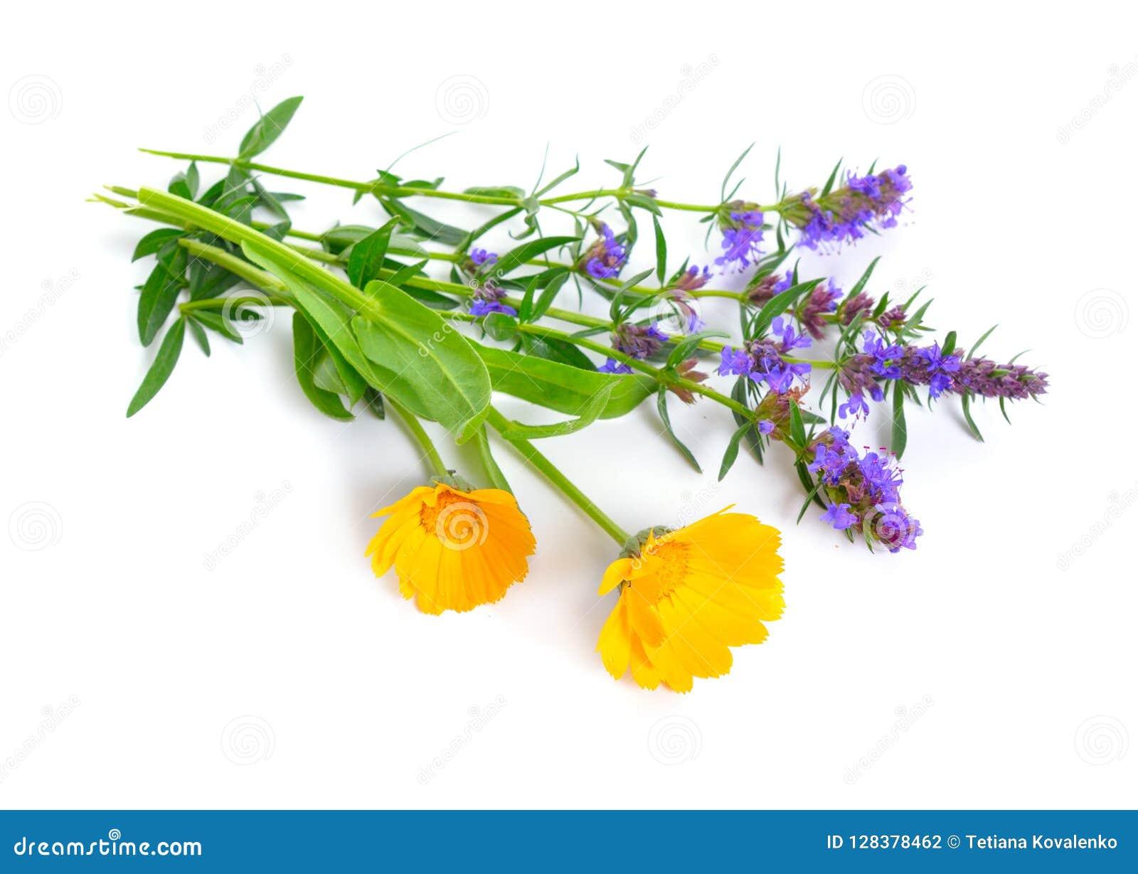 Medicinalväxter Calendula och Hyssop Isolerat på vit