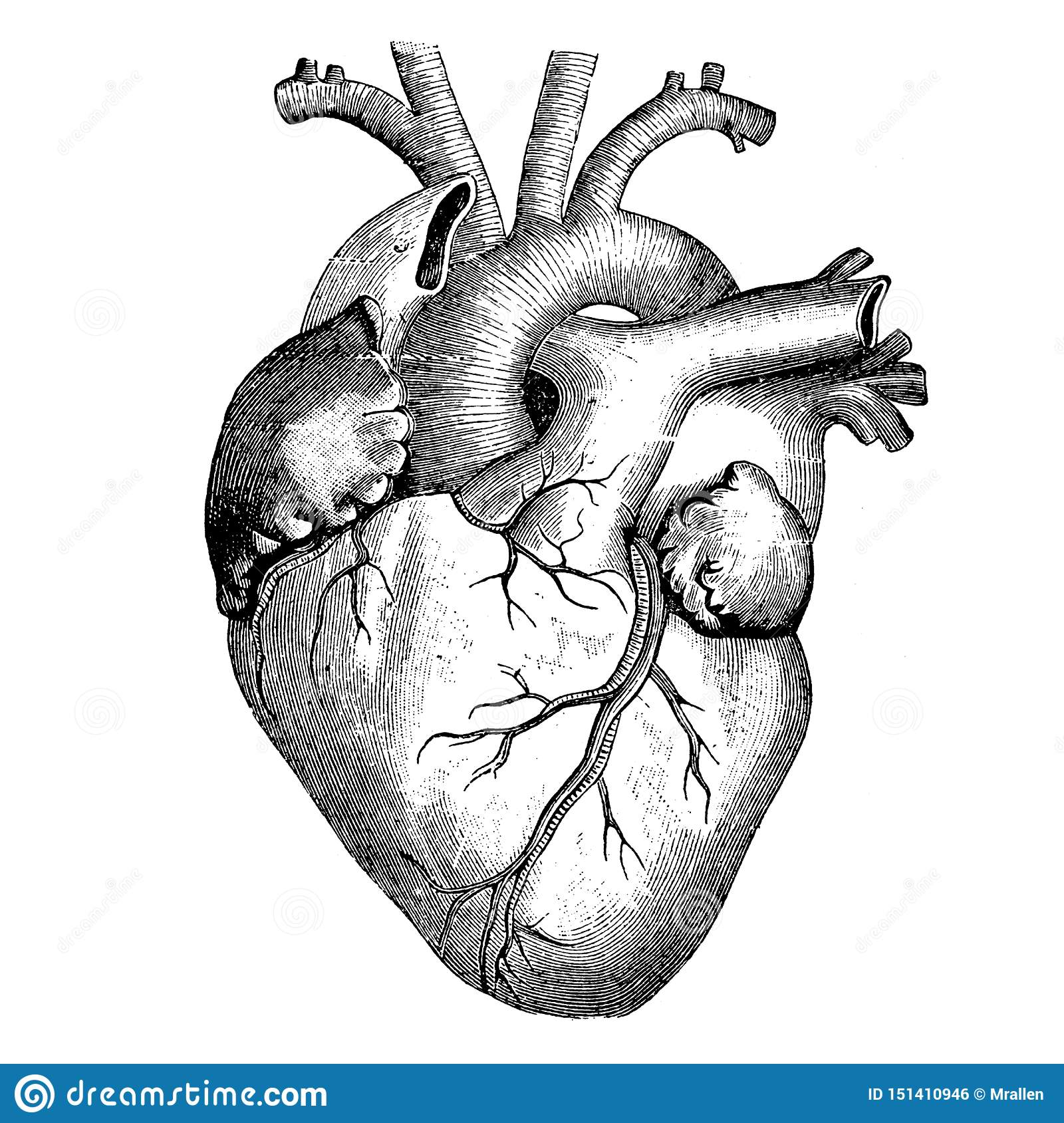 Medicine - The Human Heart - Victorian Anatomical Drawing ...