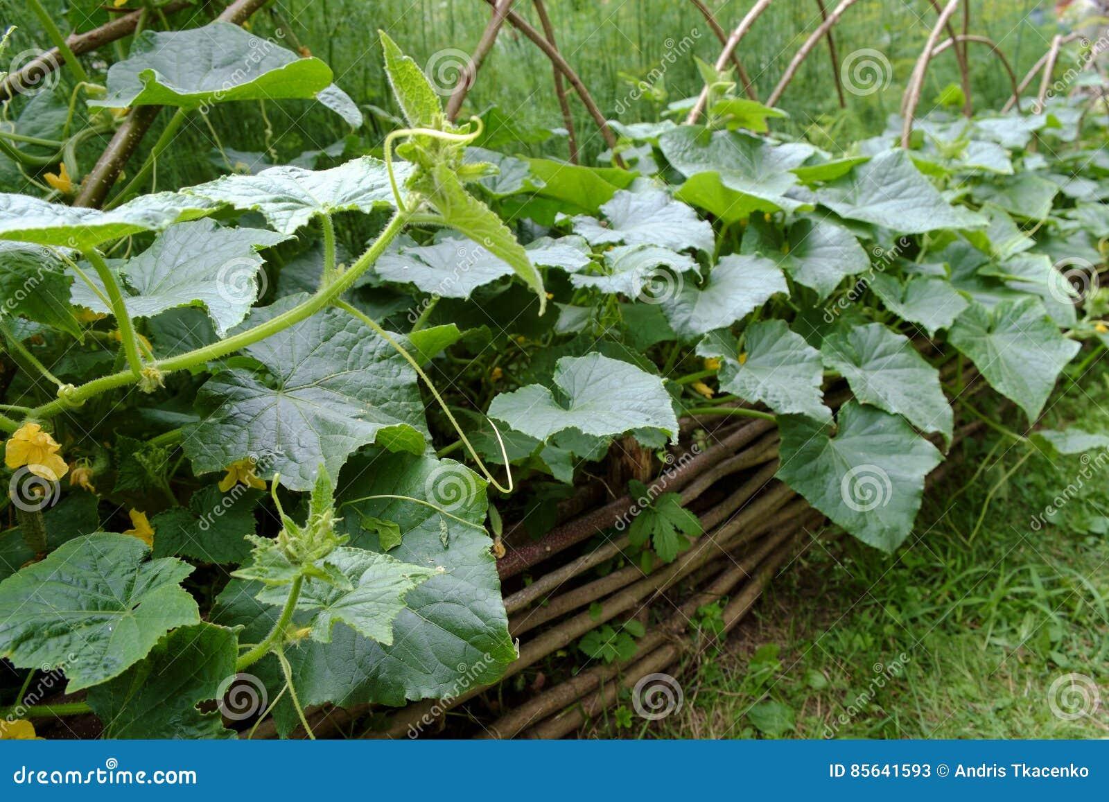 Medieval style cucumber garden