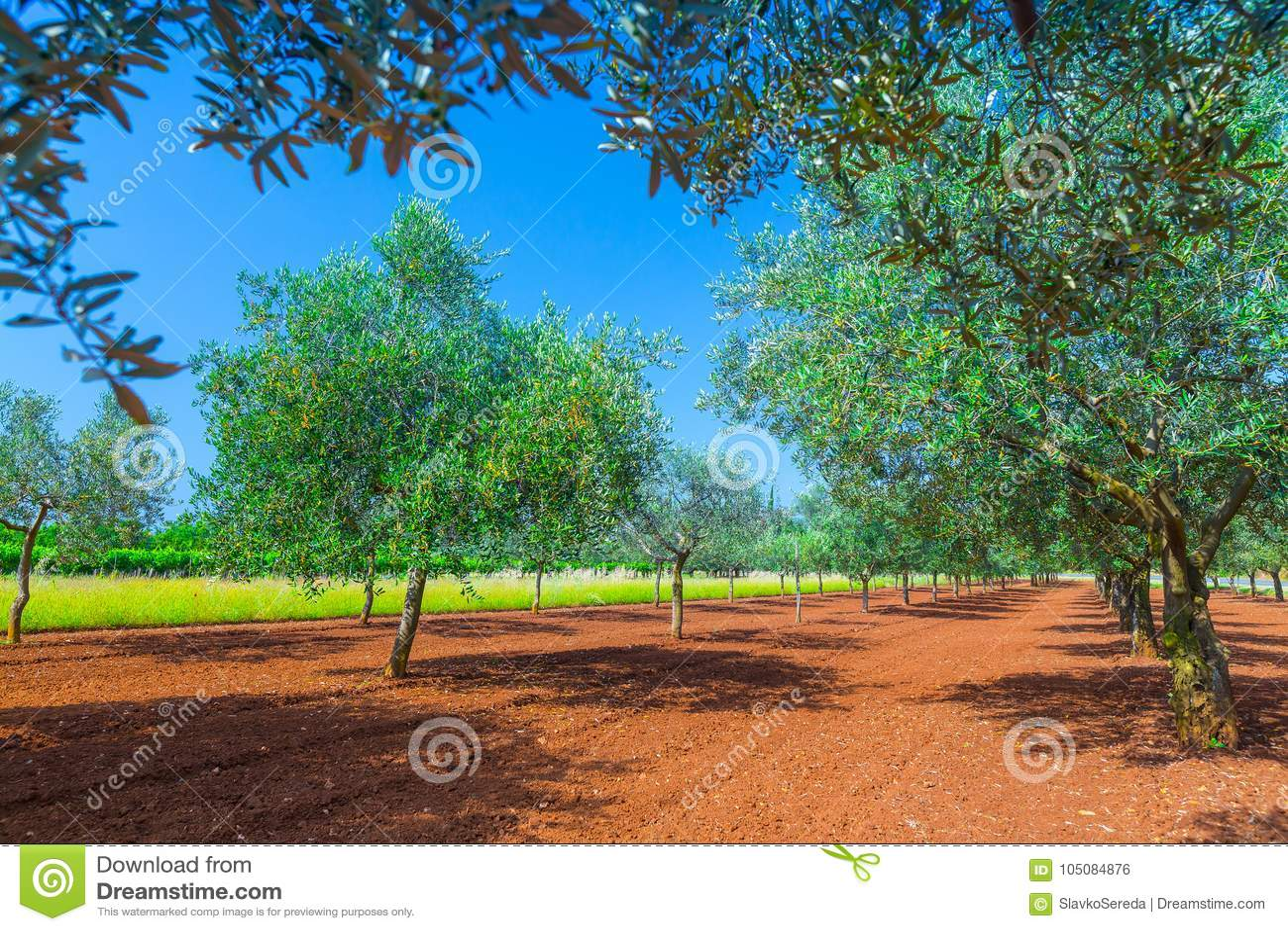 Mediterraan de zomerlandschap Olive Tree Plantation traditie