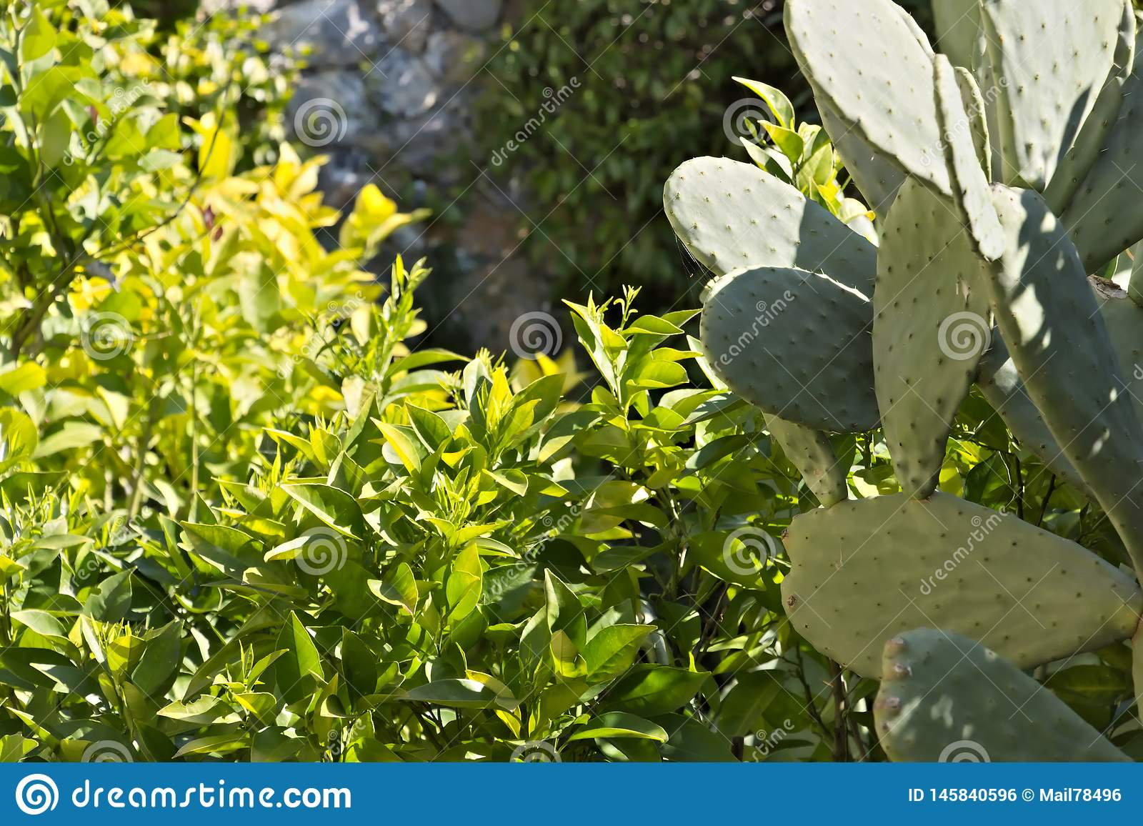 Lemon plant with prickly pear cactus