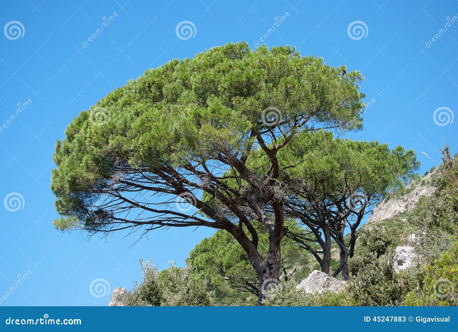 Mediterranean Pine Trees Stock Photo - Image: 45247883