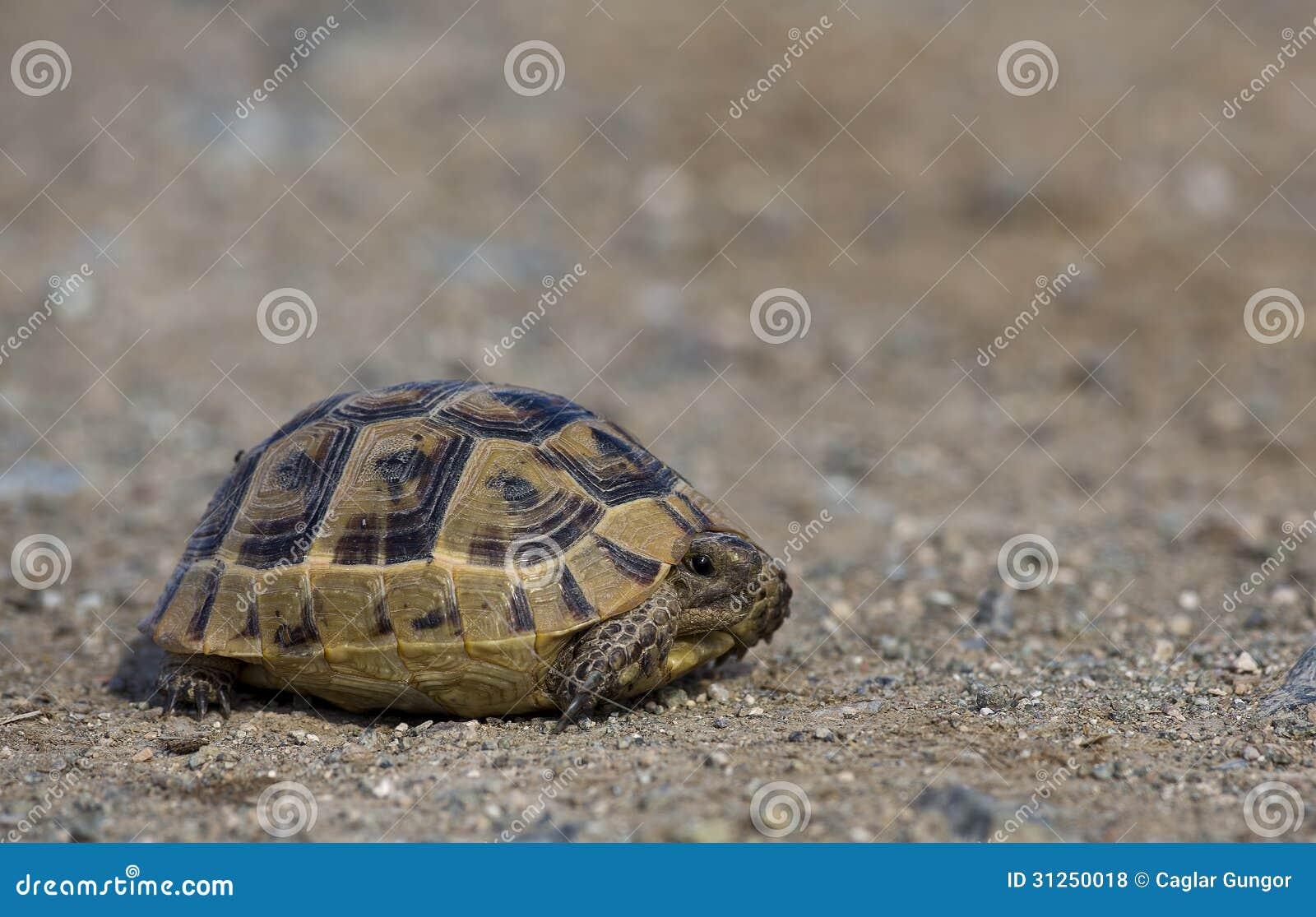 mediterranean spur thighed tortoise royalty free stock
