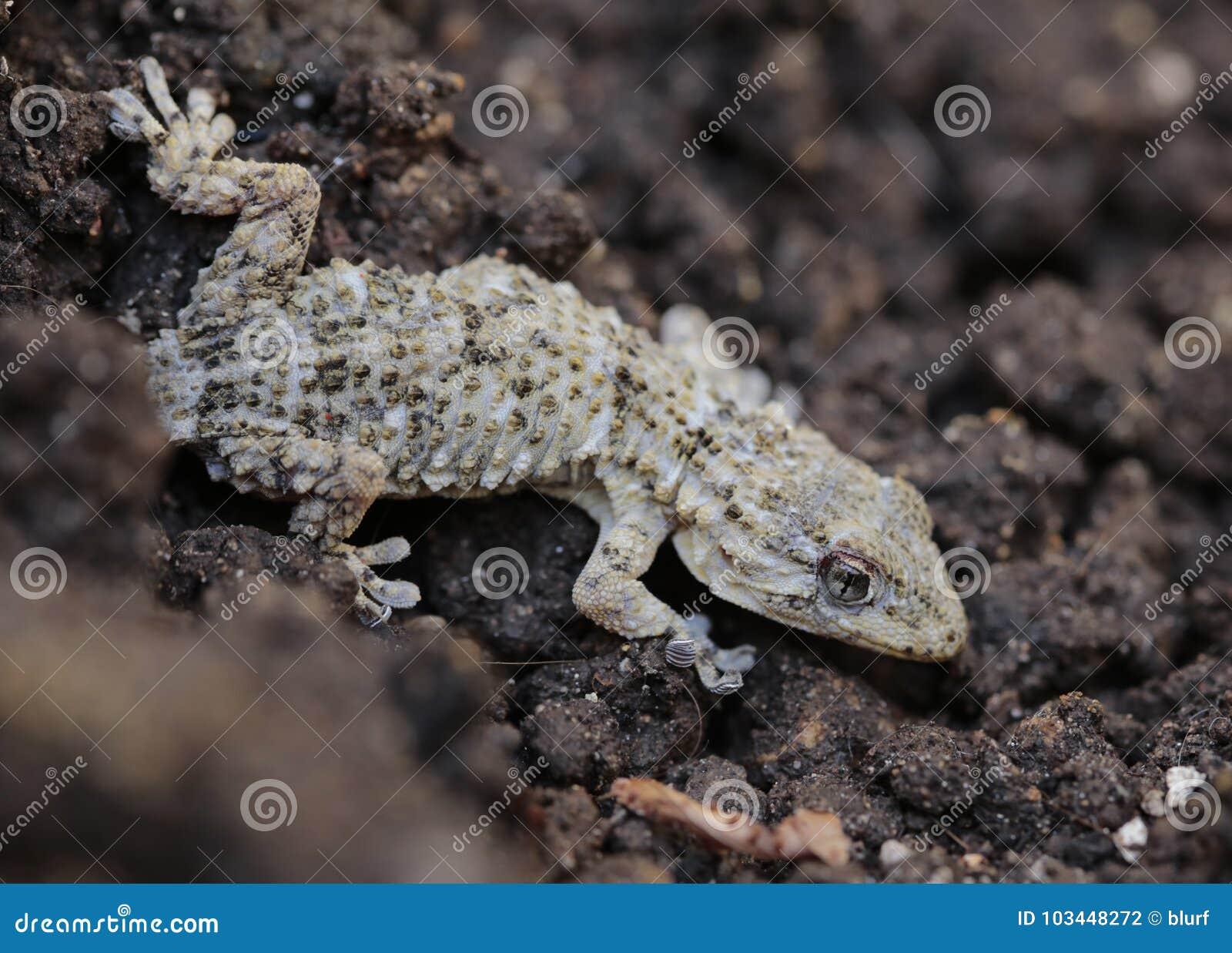Mediterranean Tarentola mauritanica lizard detail