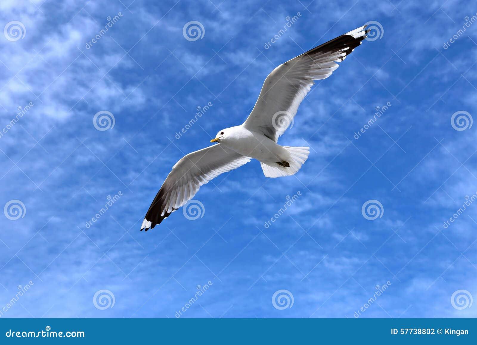 Mediterranean White Seagull Stock Photo - Image: 57738802