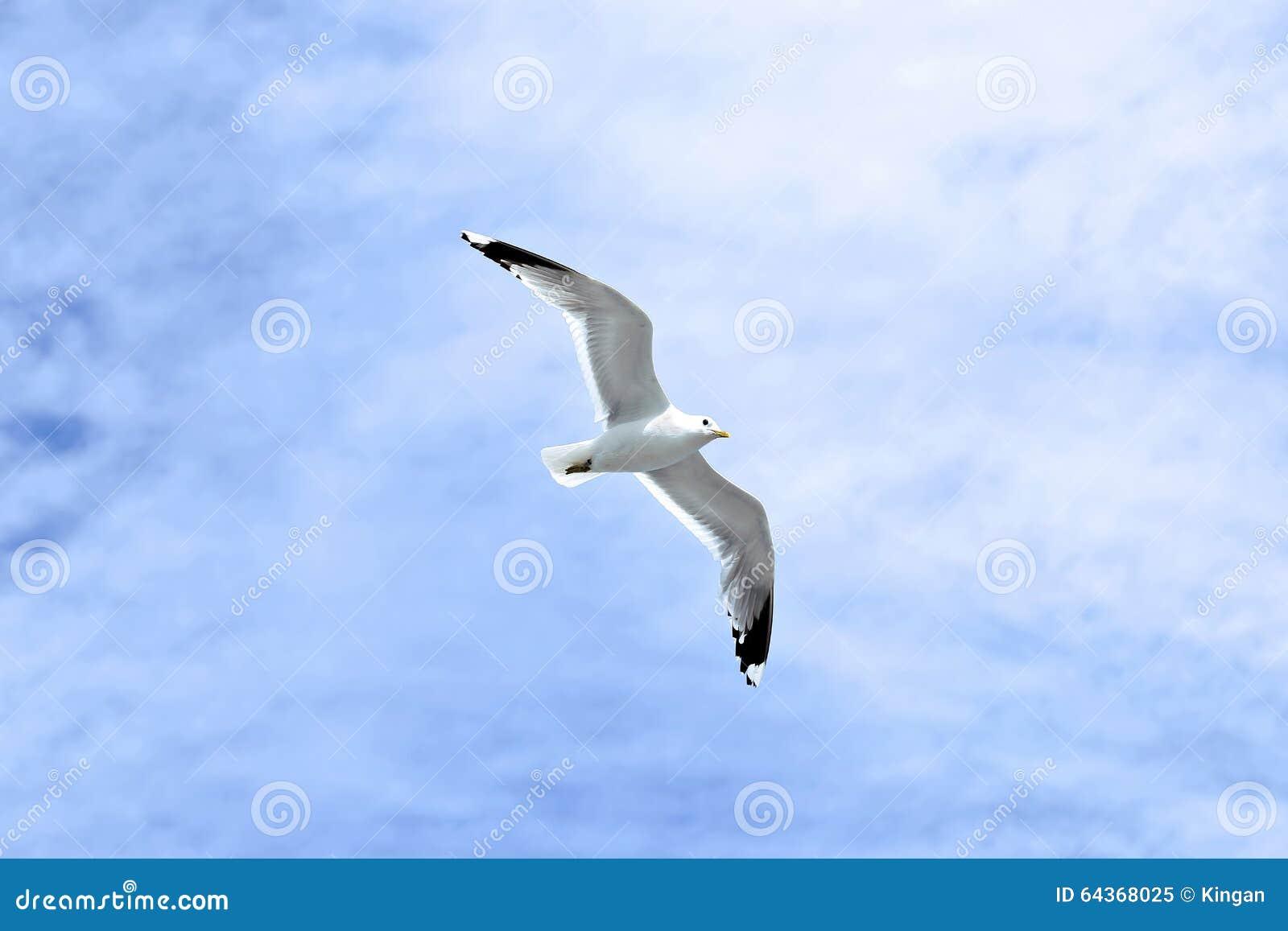 Mediterranean White Seagull Stock Photo - Image: 64368025