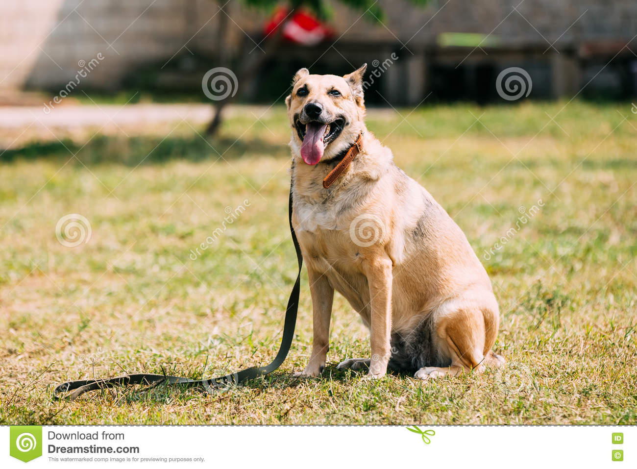 Medium Size Short Haired Mixed Breed Yellow Adult Dog With