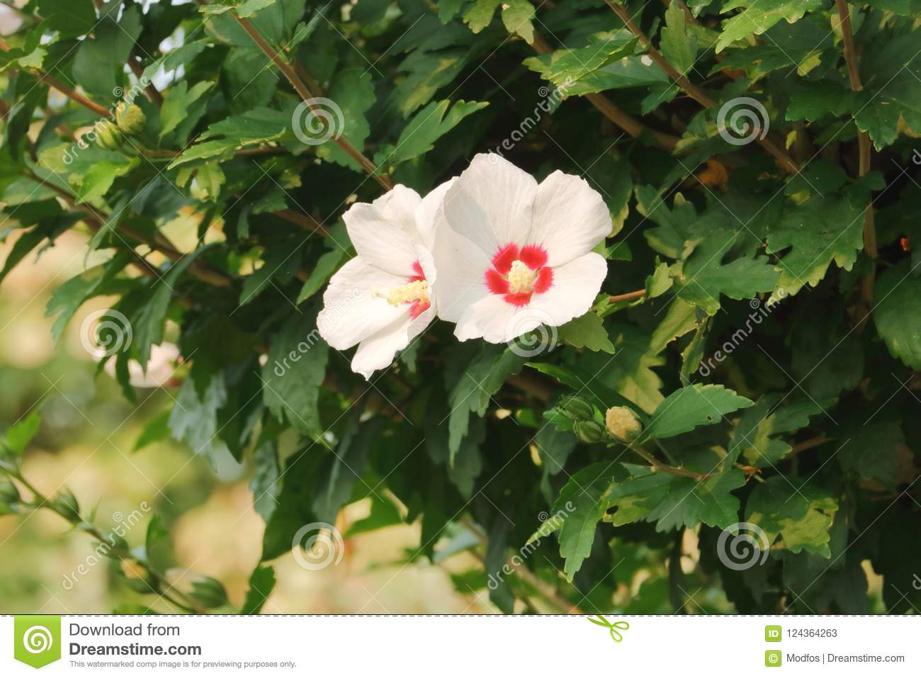 Hibiscus Tree With White Flowers Stock Image Image Of Surround