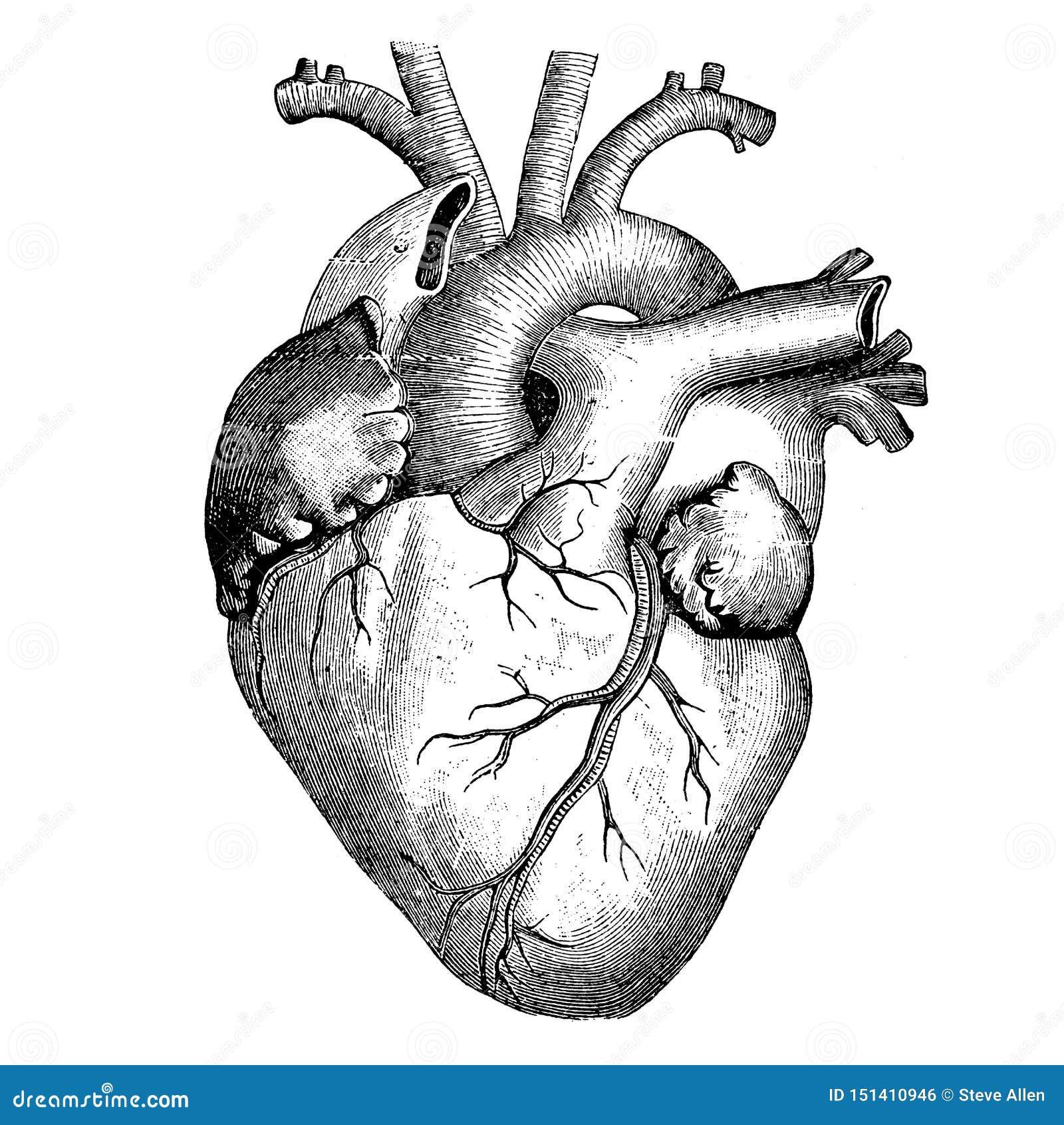 Medizin - Das Menschliche Herz - Viktorianische