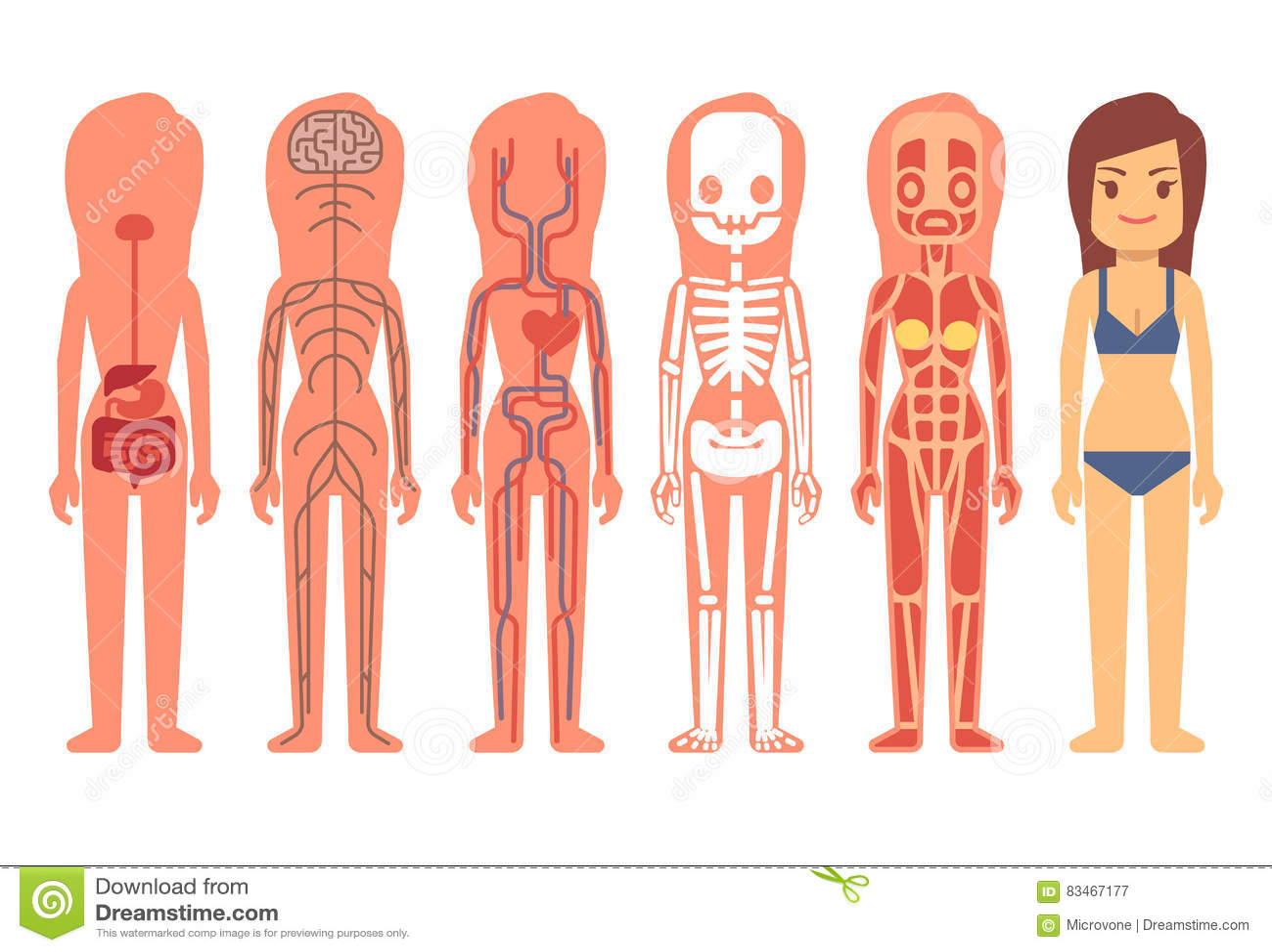 Medizinische Frauenkörperanatomie-Vektorillustration Skelett ...