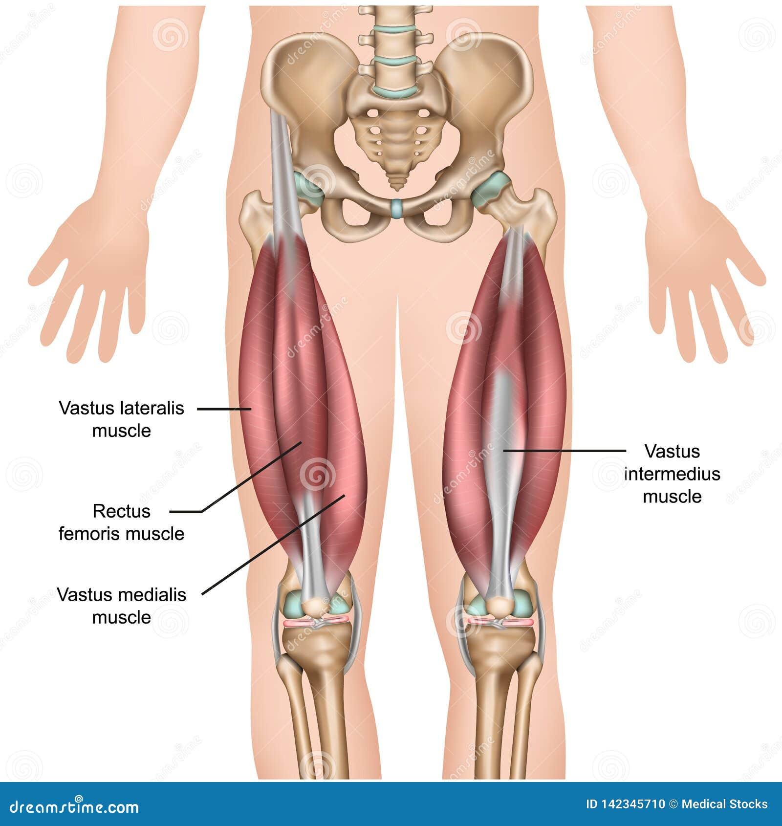 Medizinische Illustration der Oberschenkelmuskelmuskel-Anatomie 3d