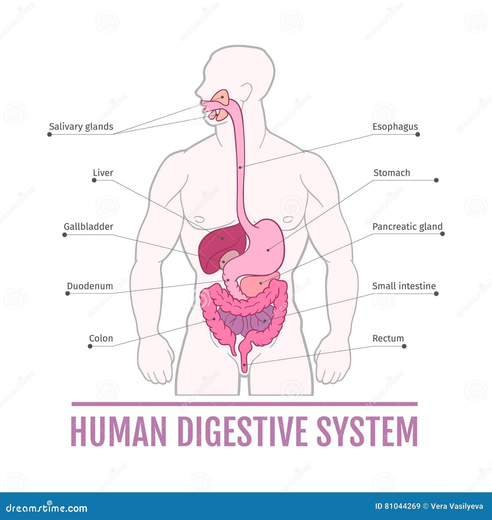 Schön Diagramm Des Menschlichen Verdauungssystems Ideen ...