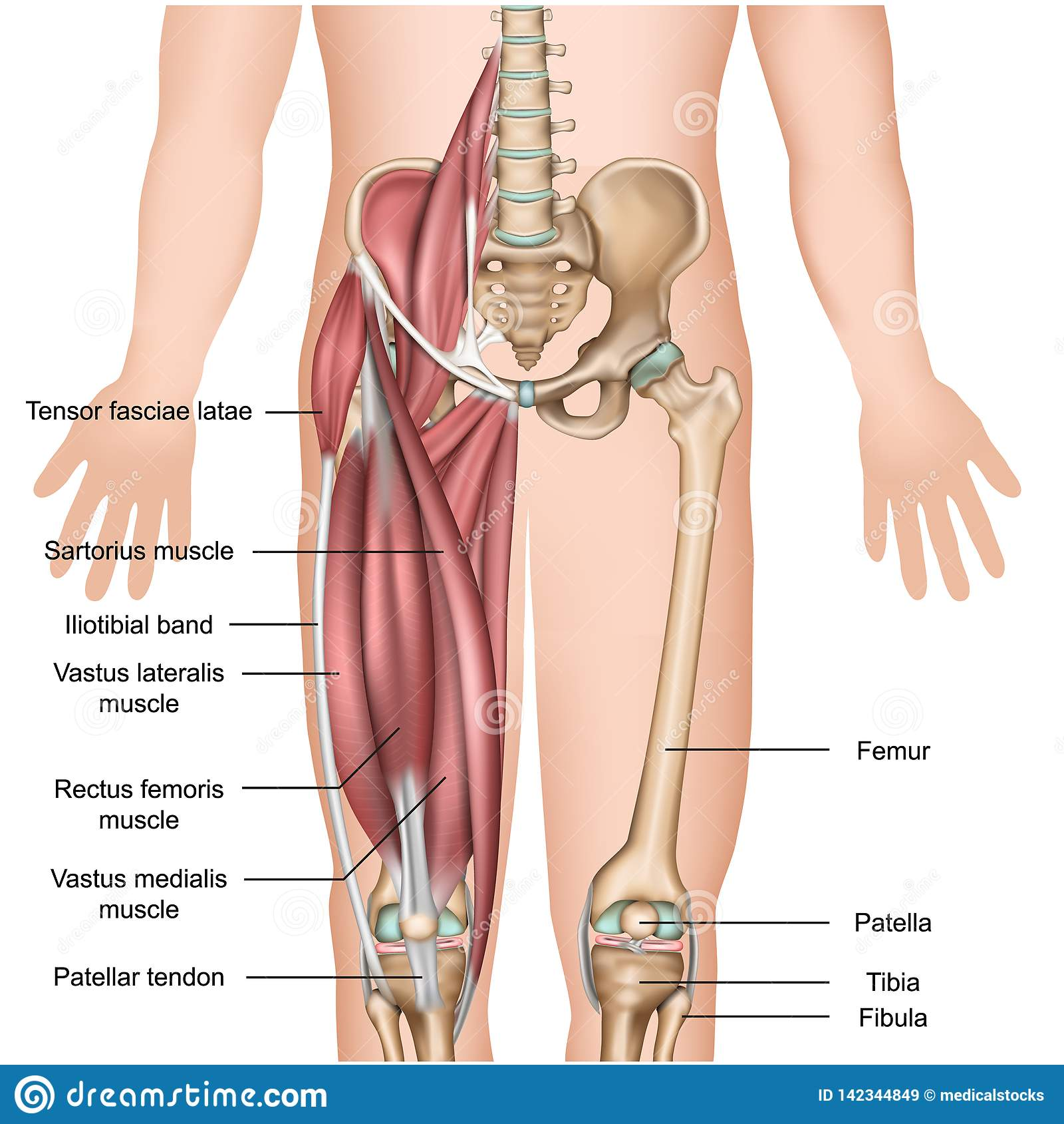 Medizinischer Illustrationsoberschenkelmuskel der Beinmuskelanatomie 3d