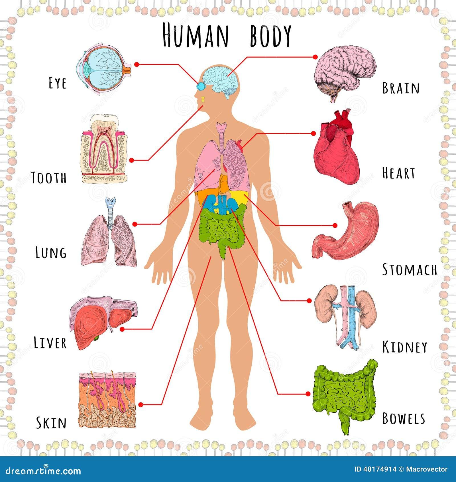 Gemütlich Organsysteme Des Menschlichen Körpers Bilder - Menschliche ...