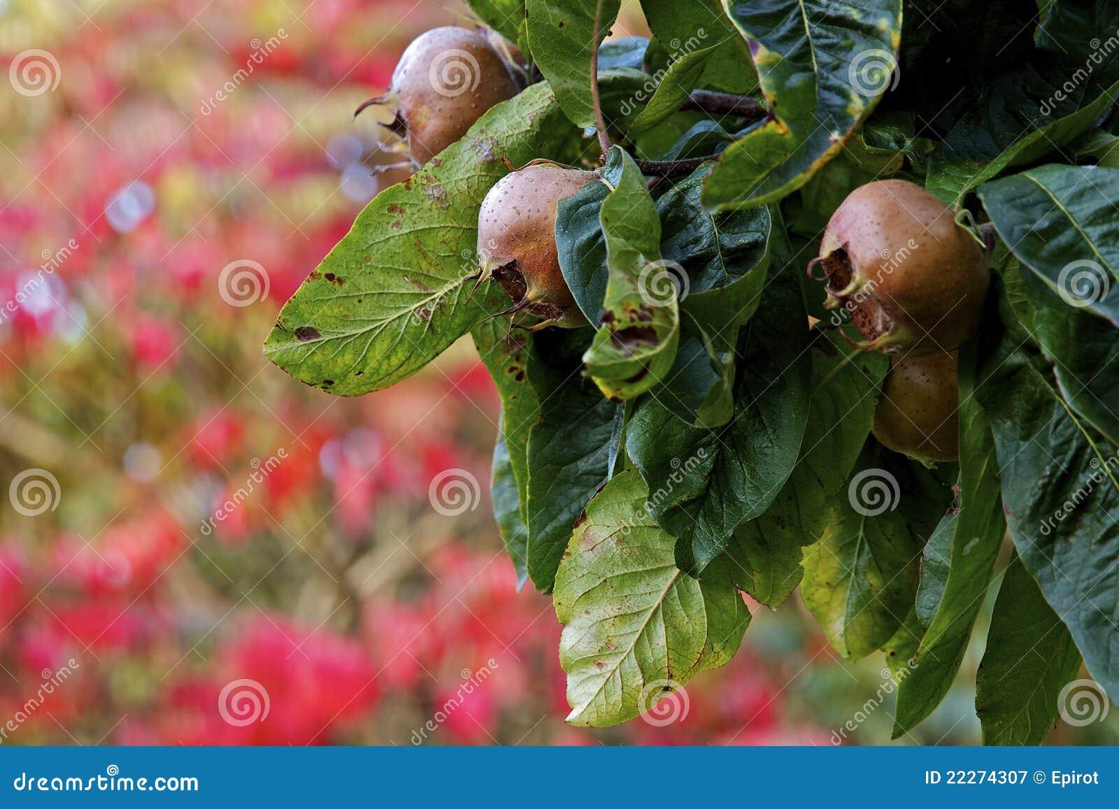 medlar tree and fruit in autumn tudeley kent uk royalty. Black Bedroom Furniture Sets. Home Design Ideas