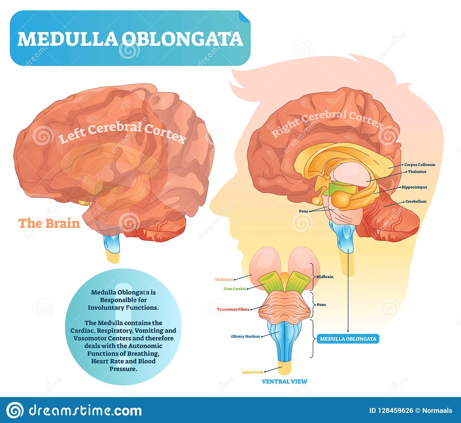 Brain Anatomy Medulla Oblongata And Spinal Cord Royalty