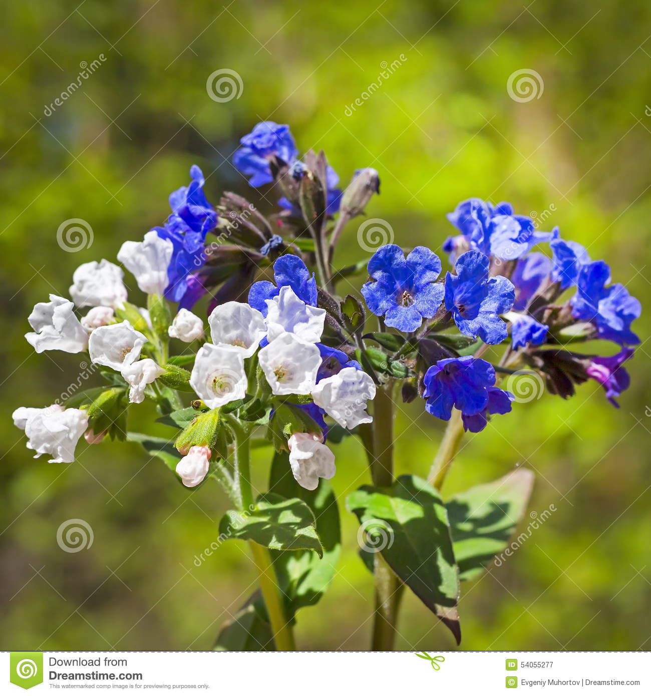 Medunits Herb (Latin Pulmonaria Mollis) Stock Image - Image of ...