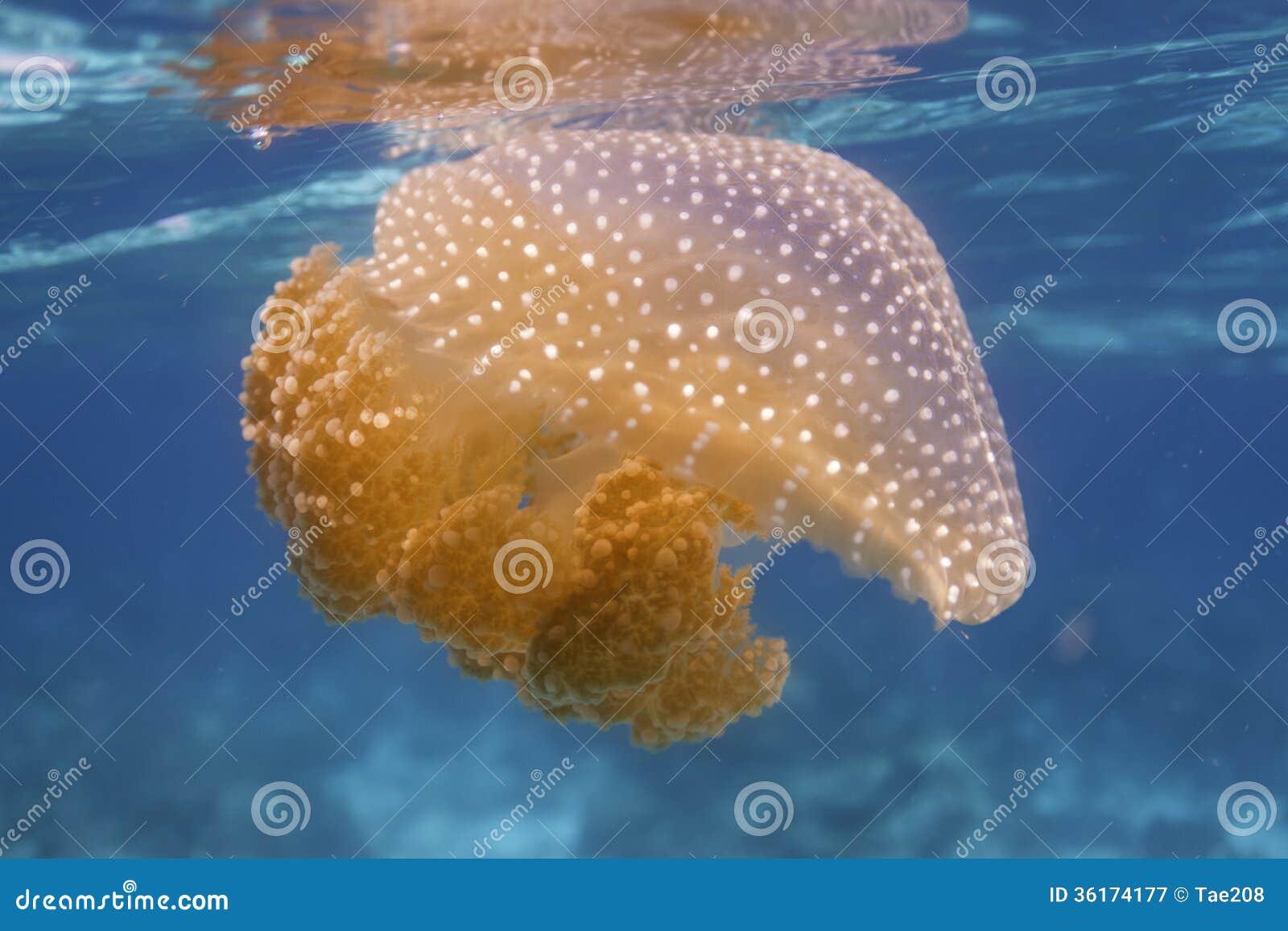 Medusa na ilha de Surin