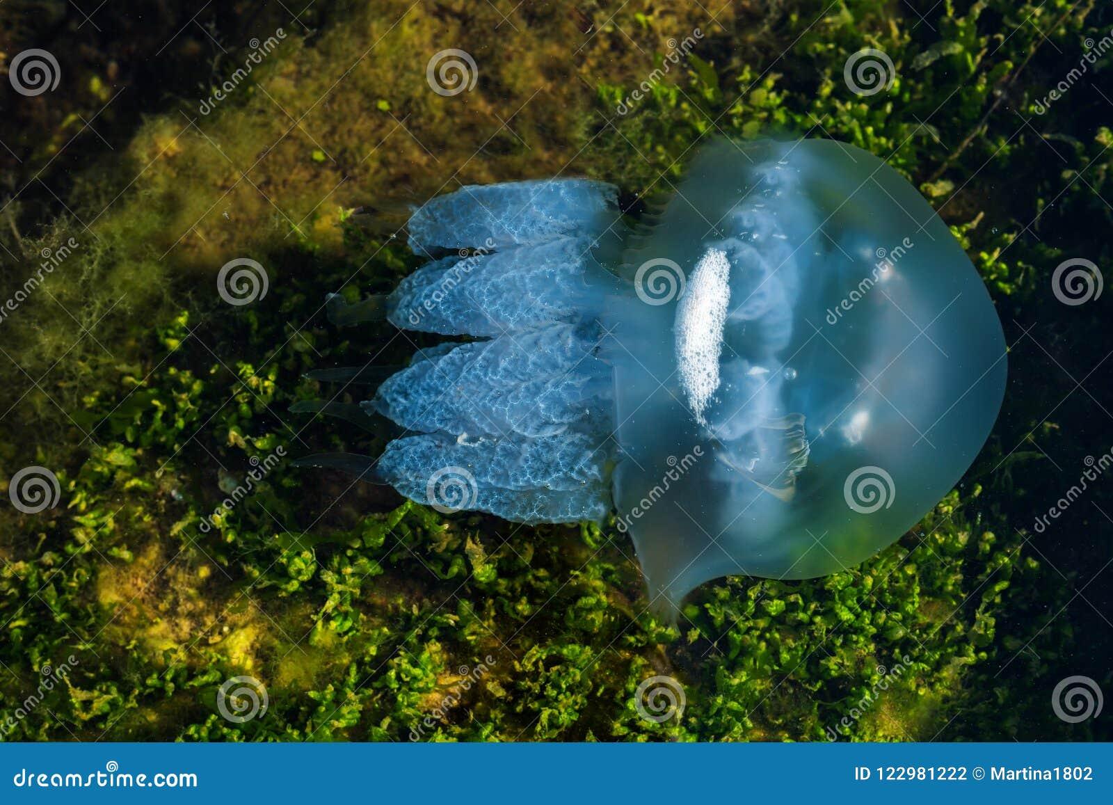 Medusas del mar