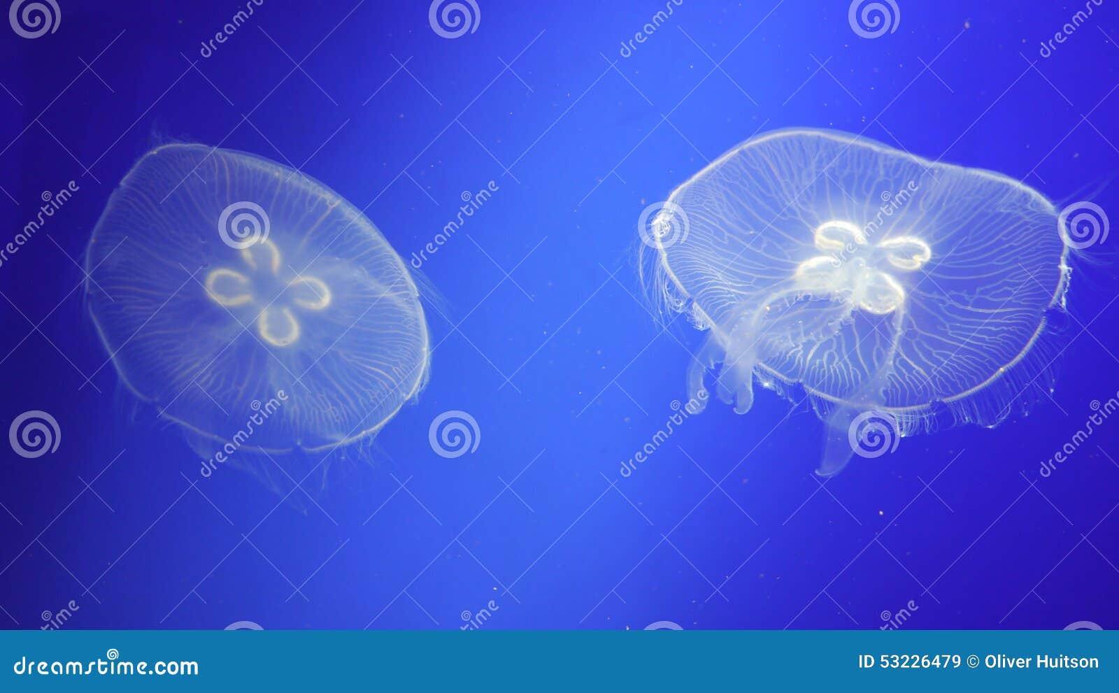 Medusas flotantes