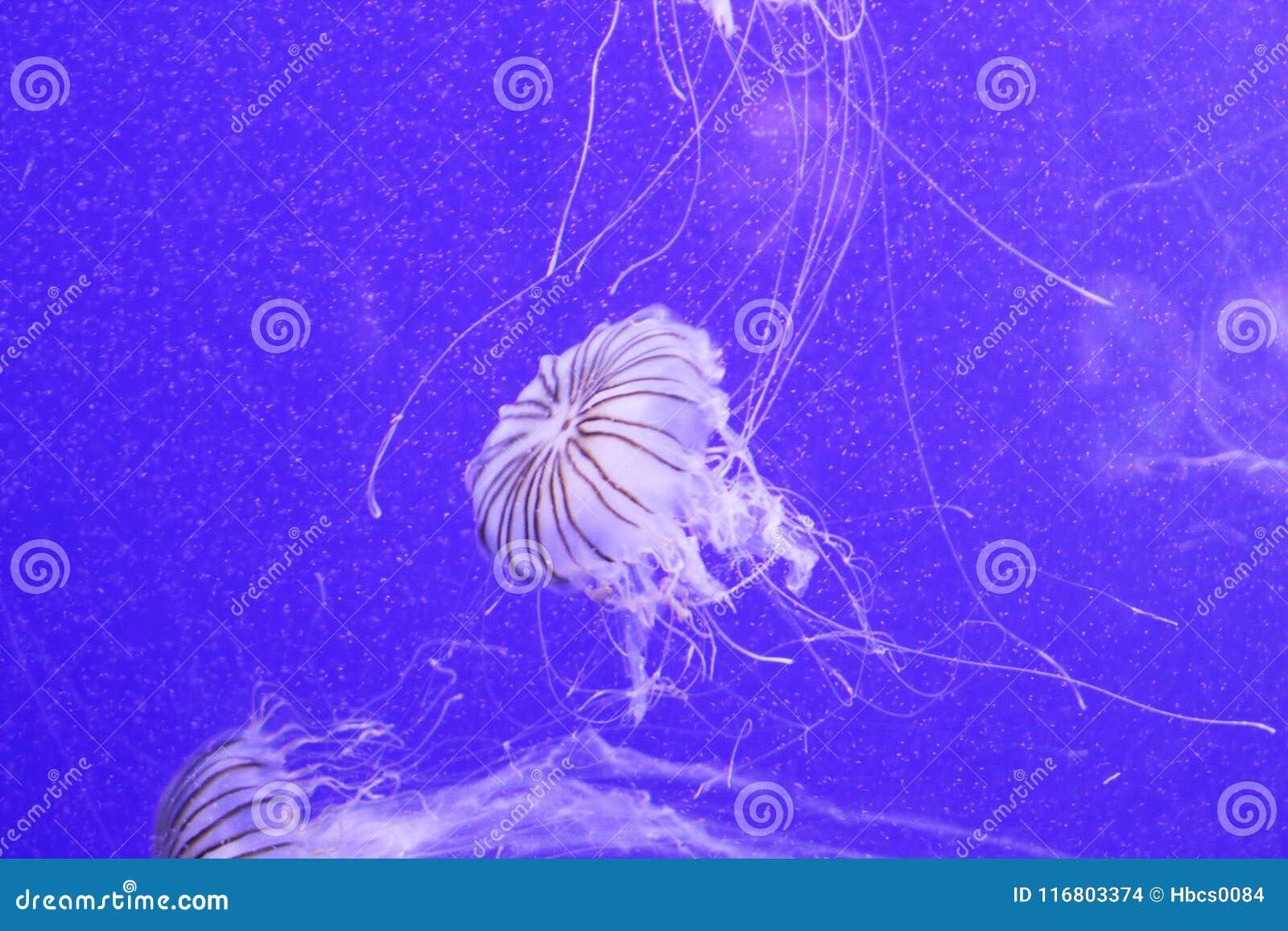 Meduse del melanaster della chrysaora