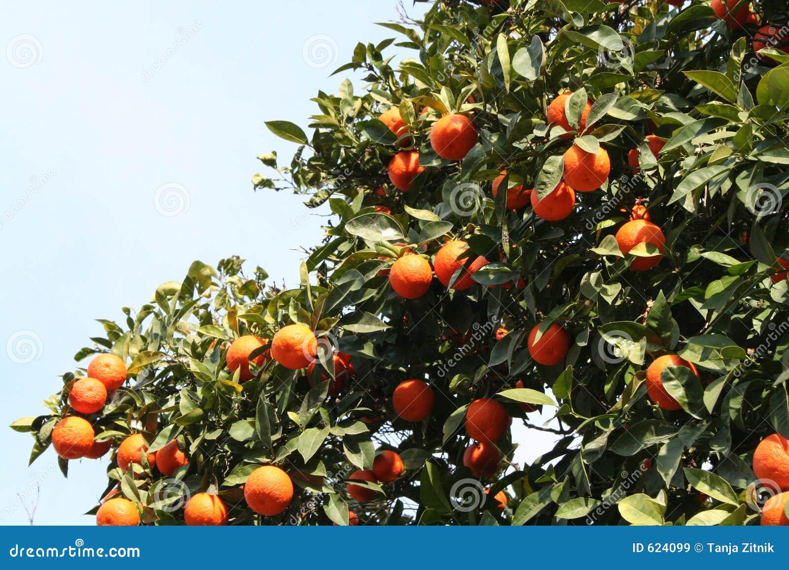 Meer sinaasappelen