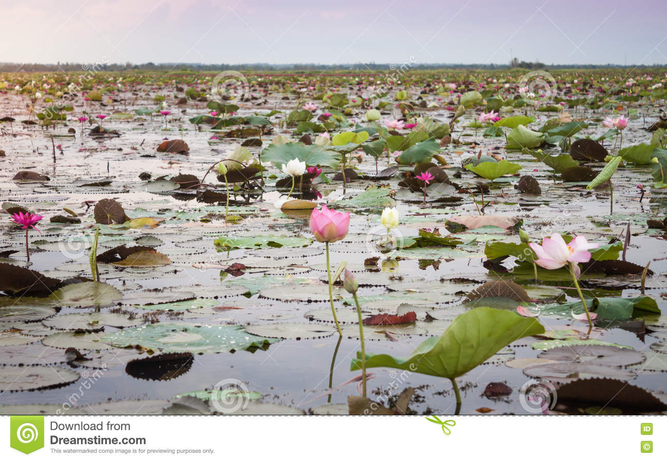 Meer van rode lotusbloem in Udonthani unseen Thailand (in Thailand)