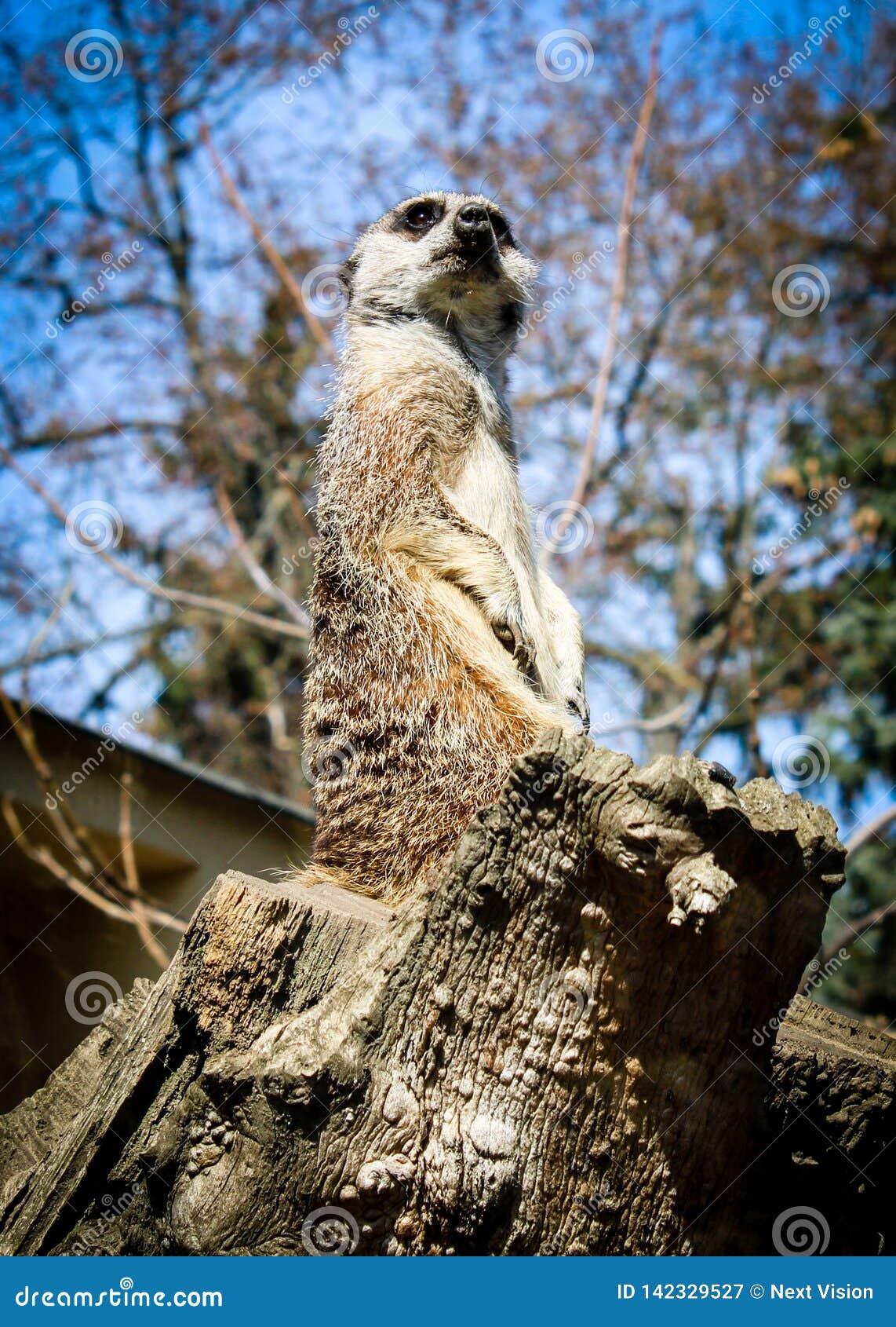 Meerkat наблюдает