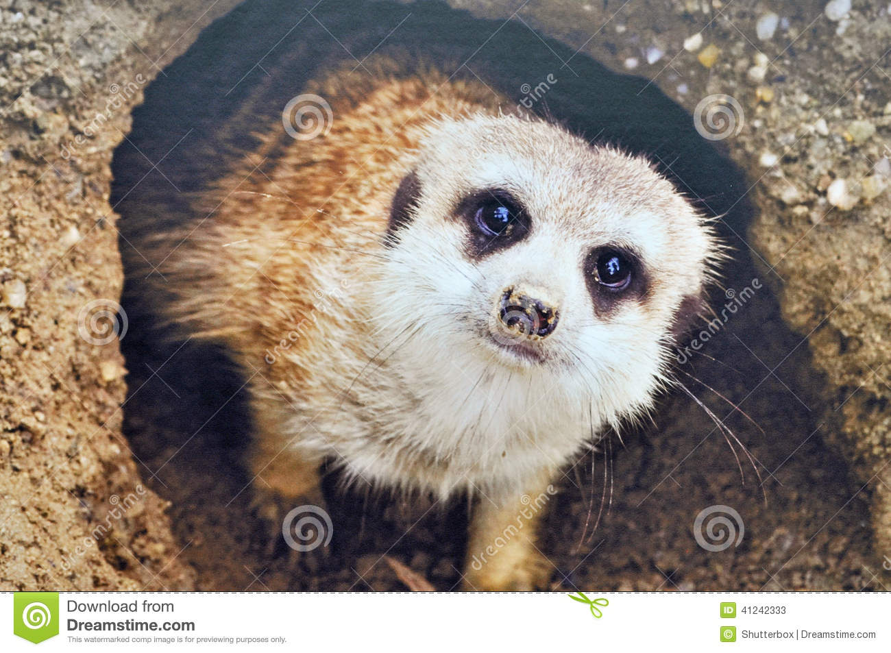 Cute south african meerkat coming out of its burrow close up shot of