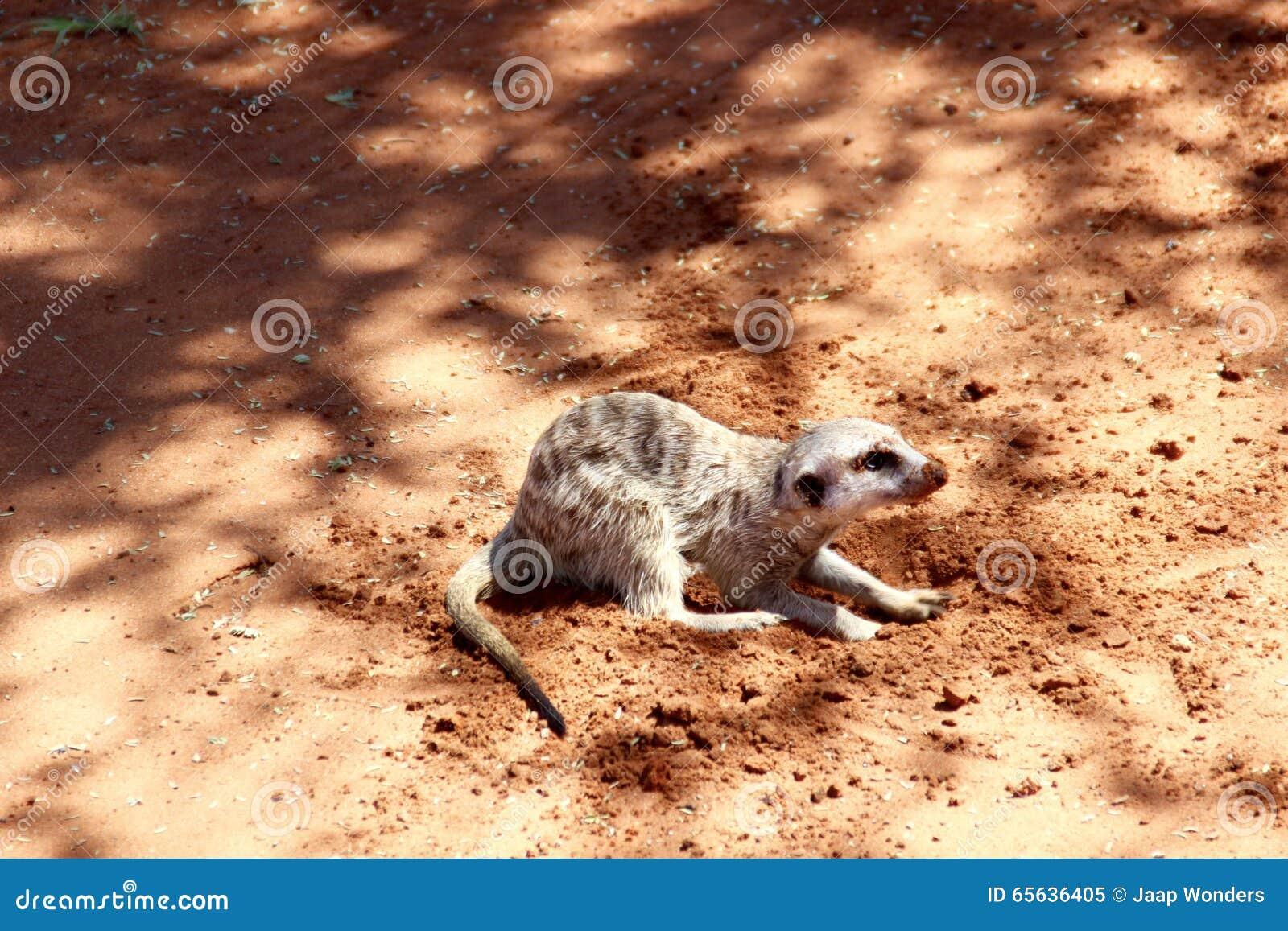 Meerkat creusant le désert de Kalahari rouge de sable