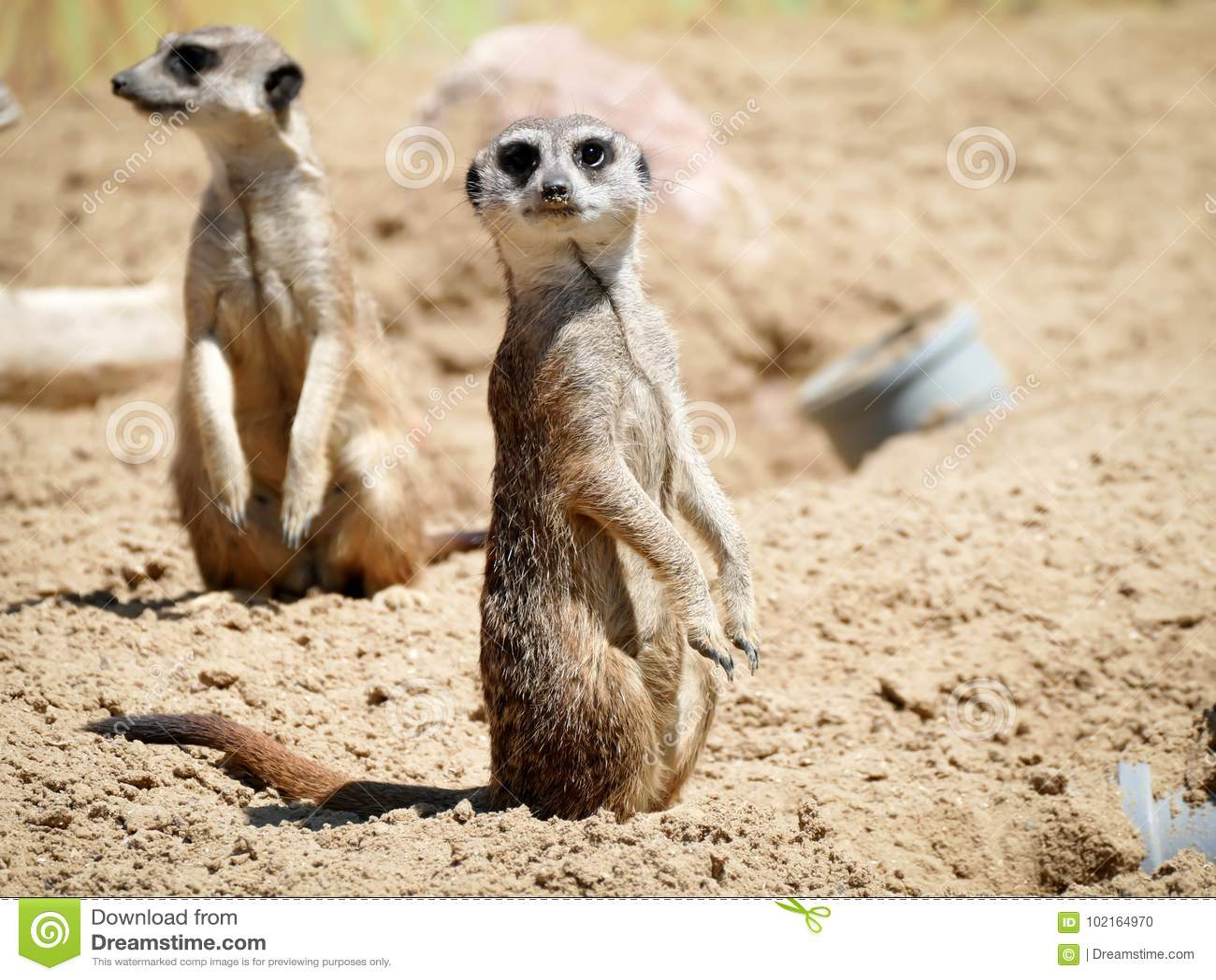 Meerkat en el parque de naturaleza