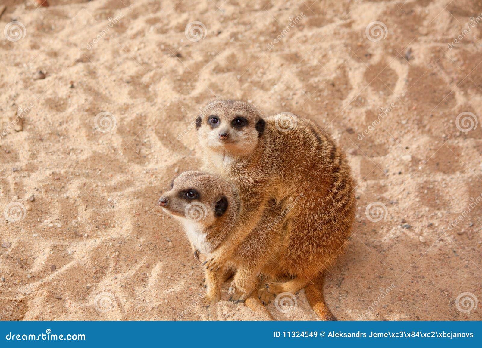 Meerkat Familie