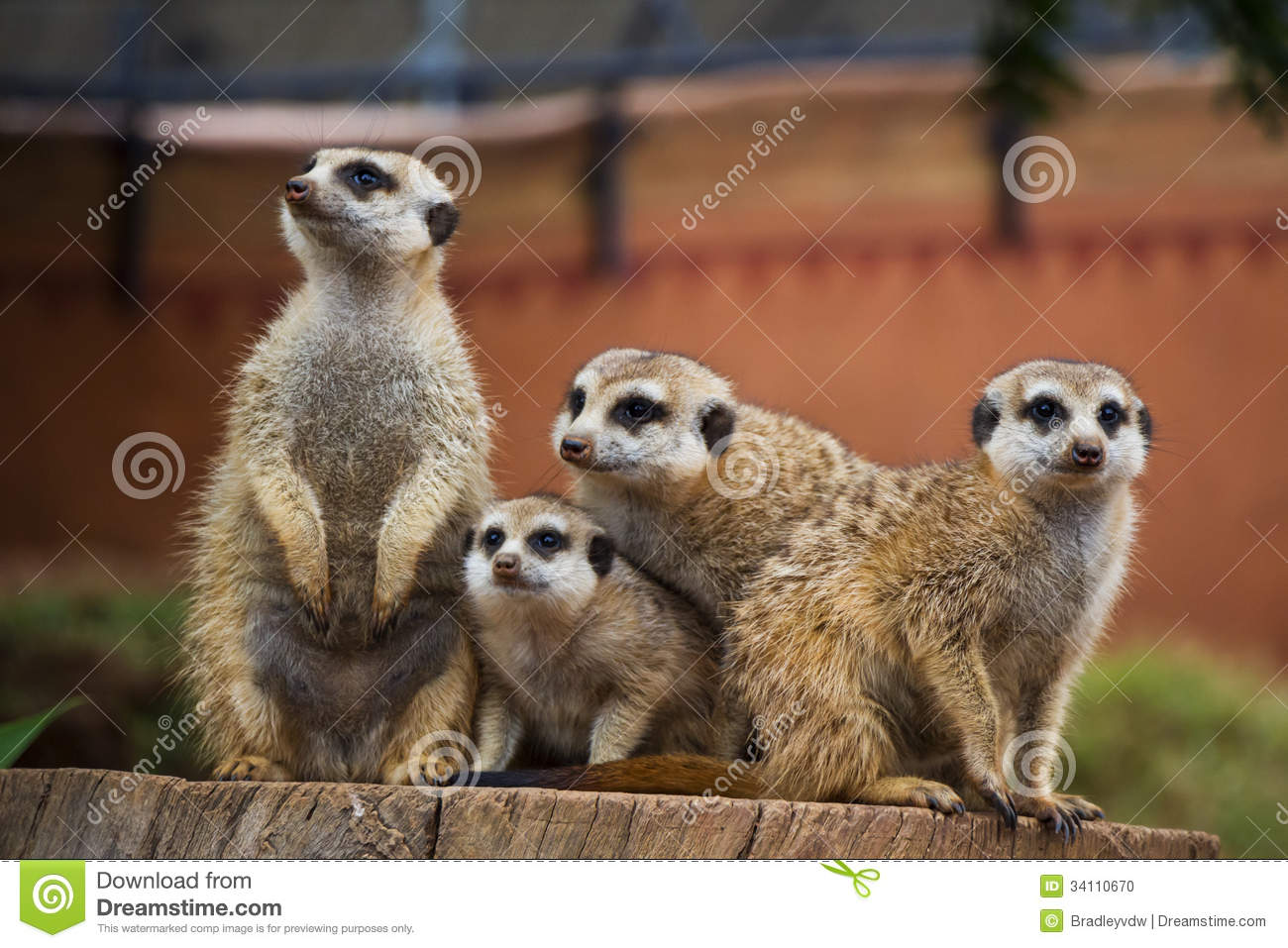 Meerkat Group Huddled Together 4 Stock Photo Image 34110670