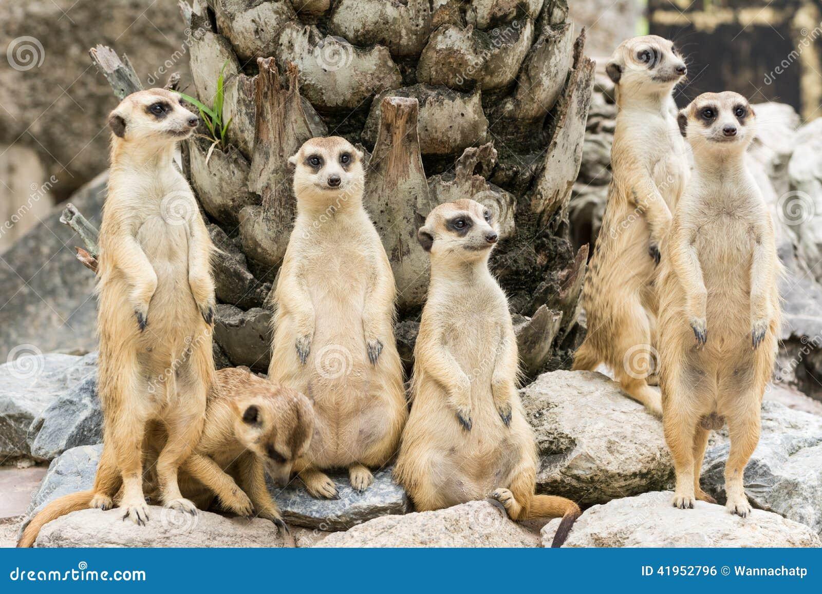 Meerkat lub Suricate kierdel (Suricata suricatta)