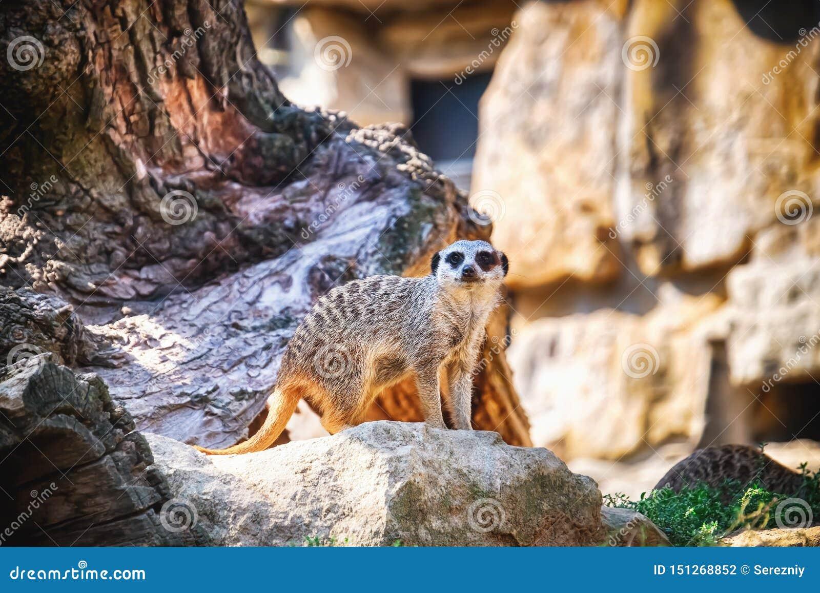 Meerkat mignon dans le jardin zoologique