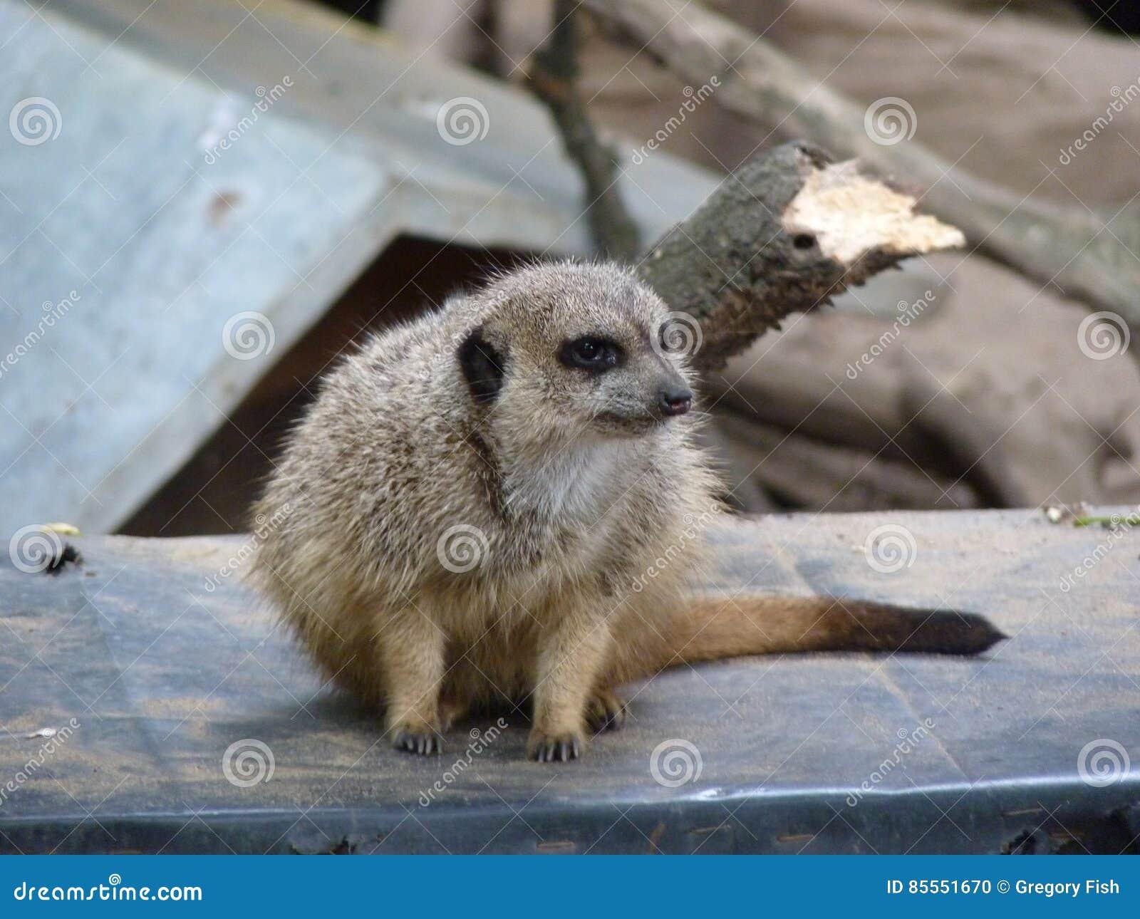Meerkat oder suricate Suricata suricatta