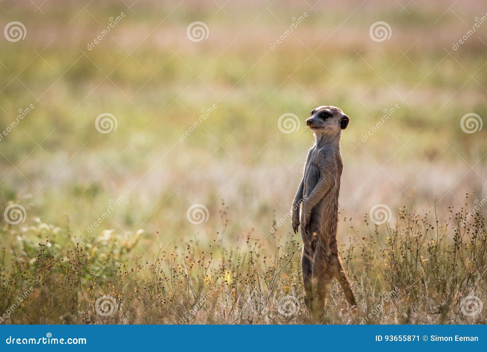 Meerkat op het vooruitzicht in Kgalagadi