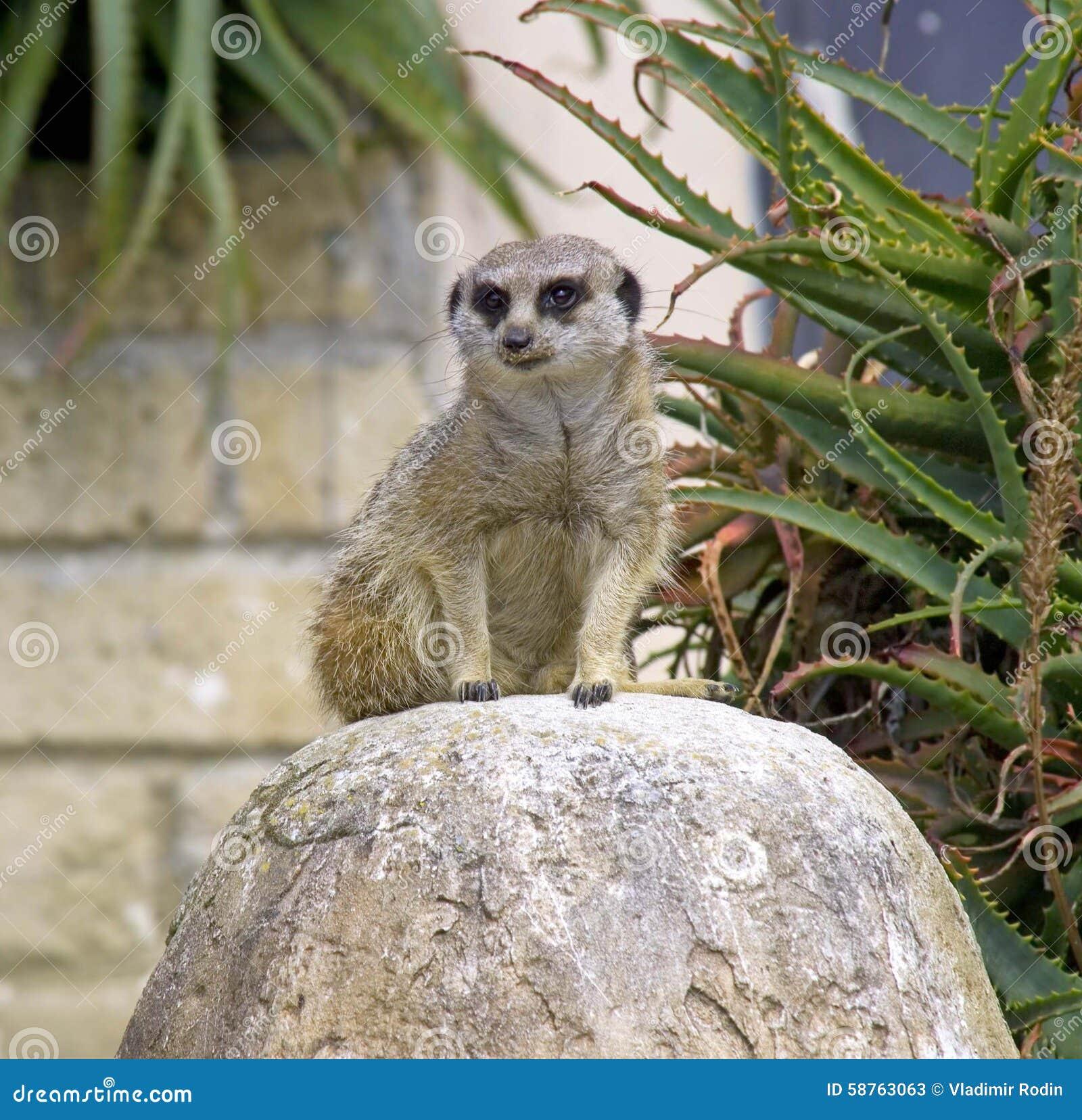 Meerkats: WhoZoo