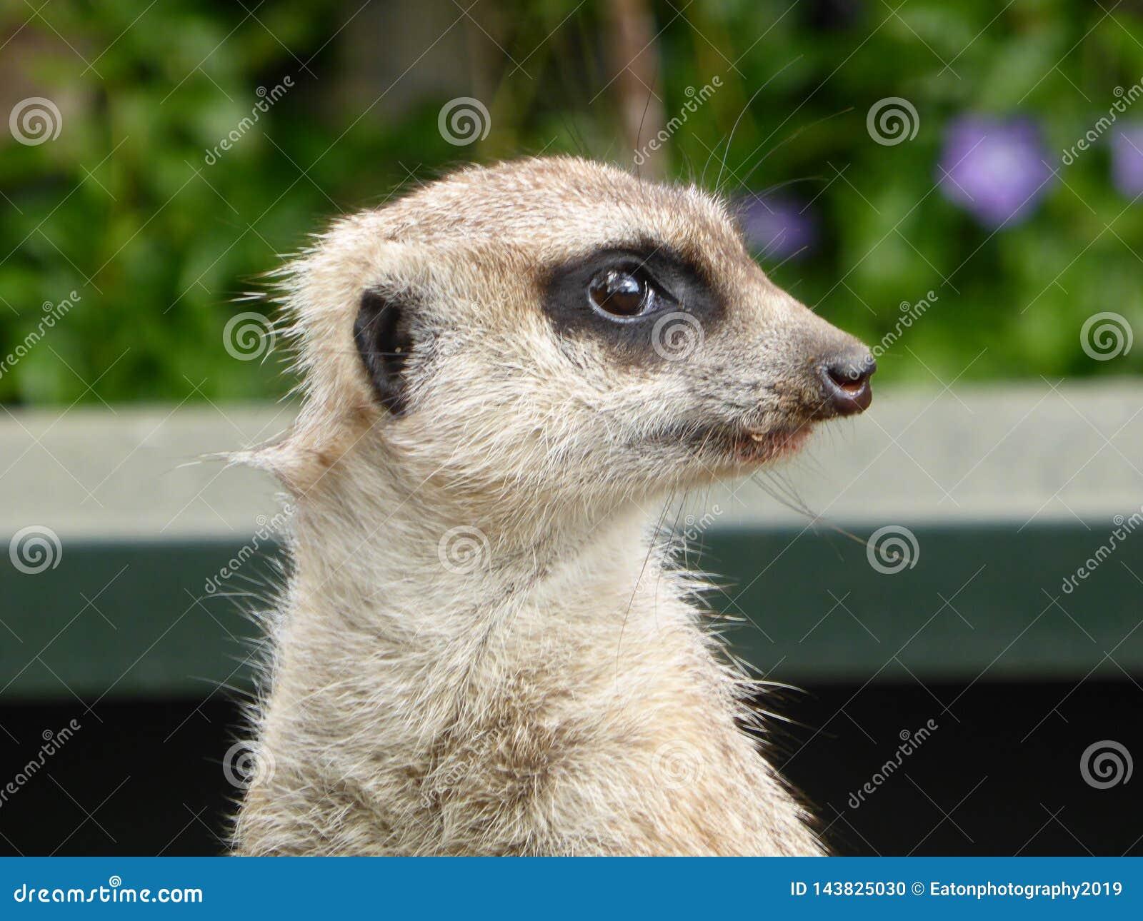 Meerkat que se sienta en el sol