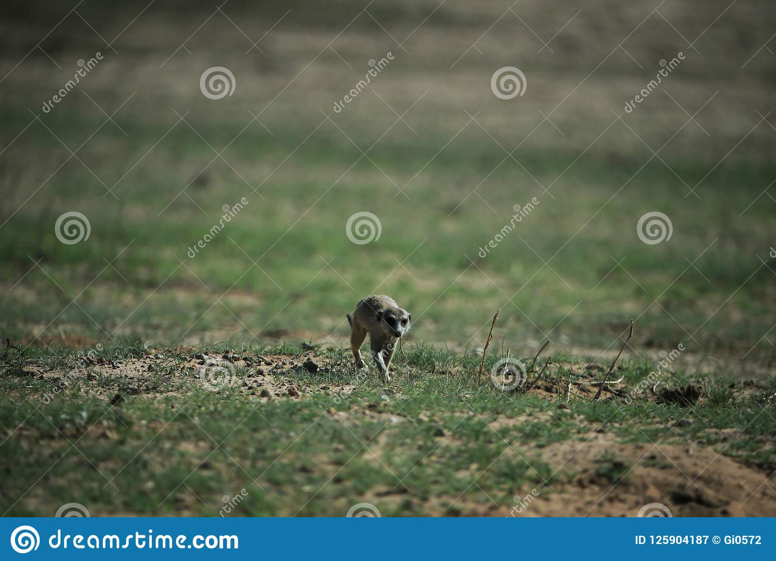 Meerkat in savannah in Namibia