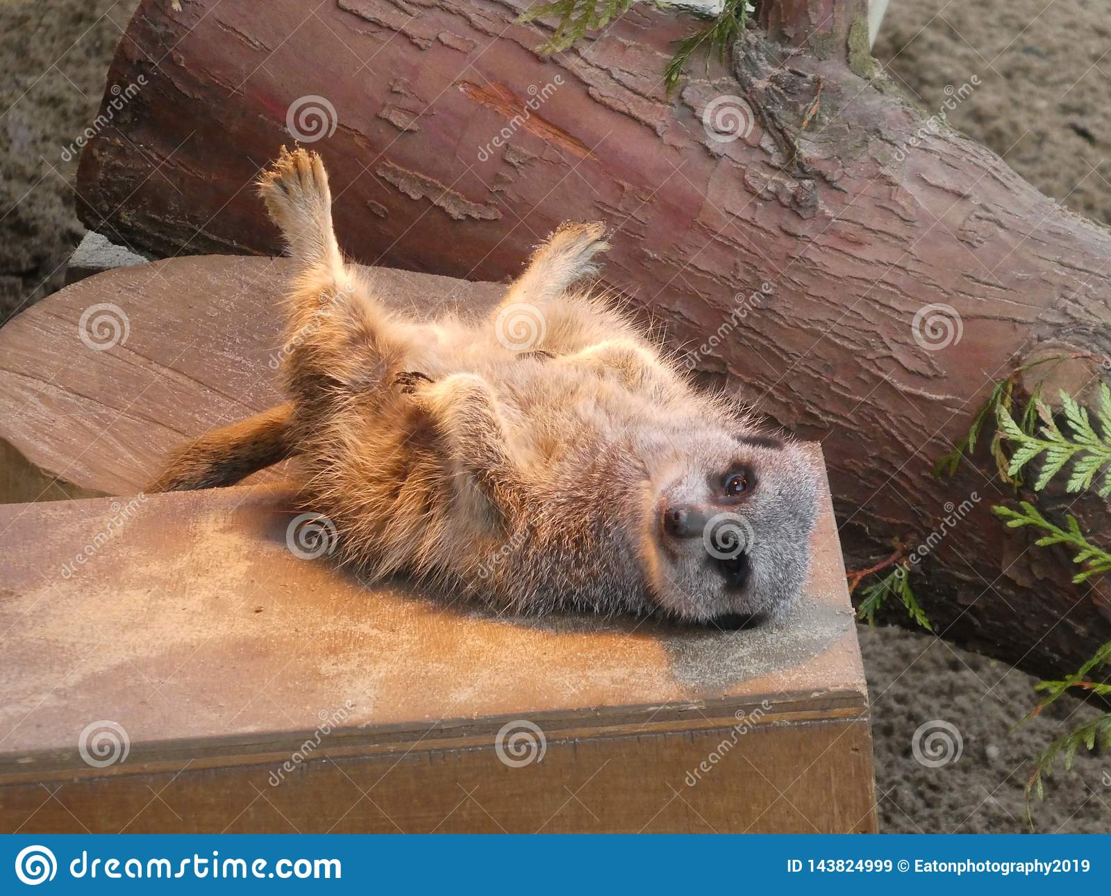 Meerkat sitting in the sun