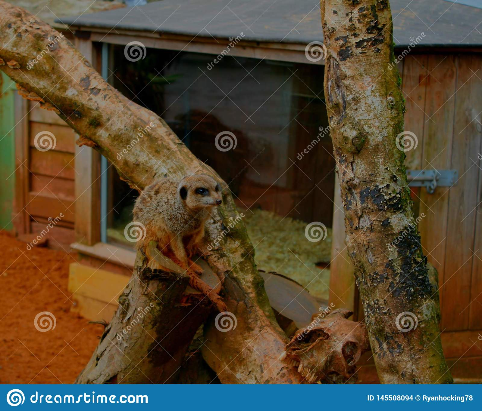 A meerkat sitting on a tree branch